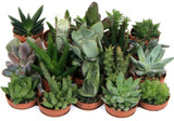 Succulent Plug Plant On the image  mix Pack of 20 .