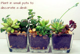 Mini Succulent Mix - Plug Plants