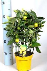Luscious Small Limonella trellis  - Lemon tree.