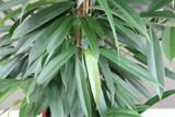 Amstel King Tree - Ficus Alii