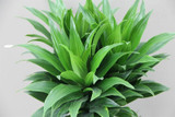 Large 3 in 1 Compact Dragon Tree