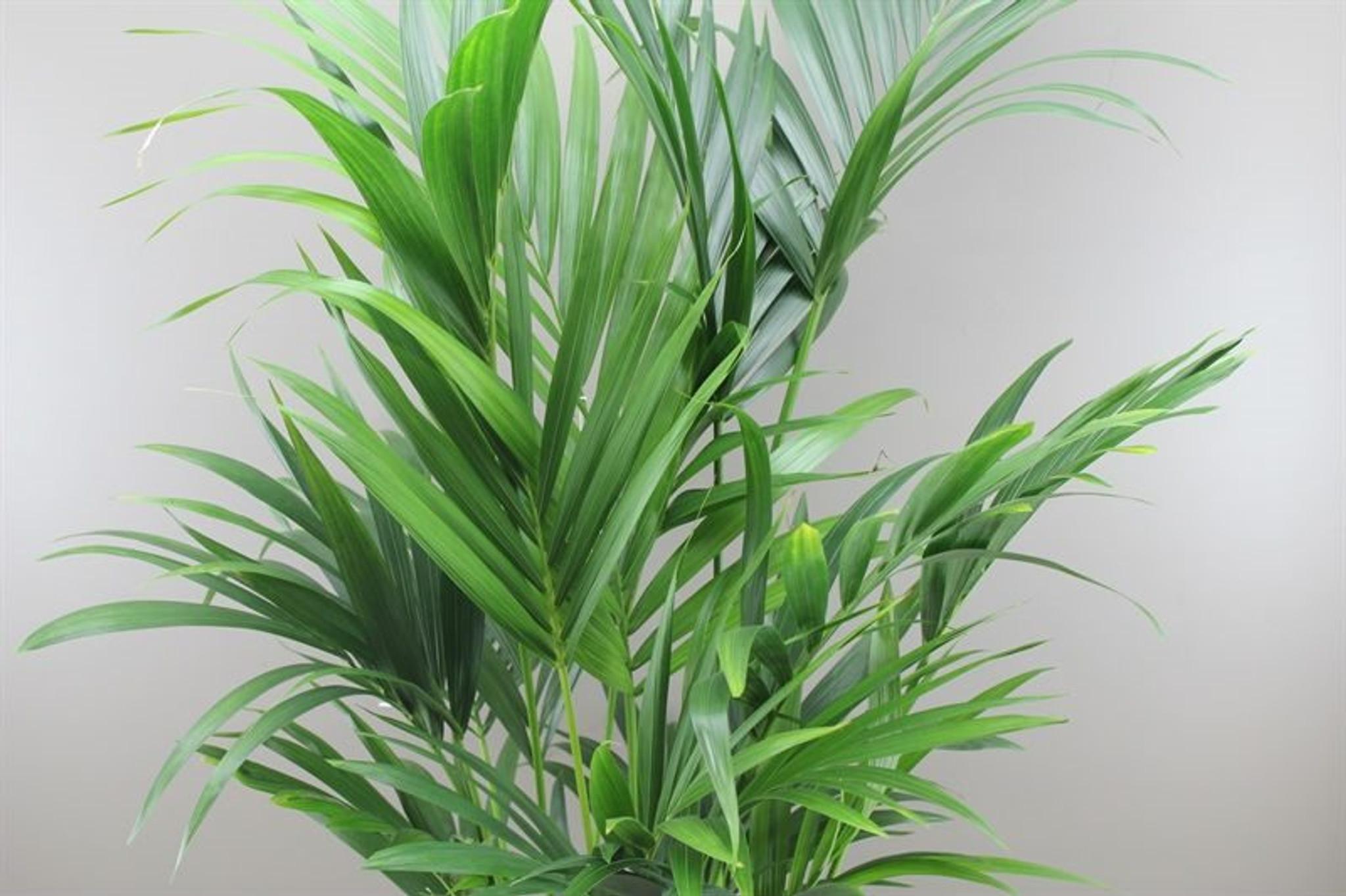 Exotic Large Palm