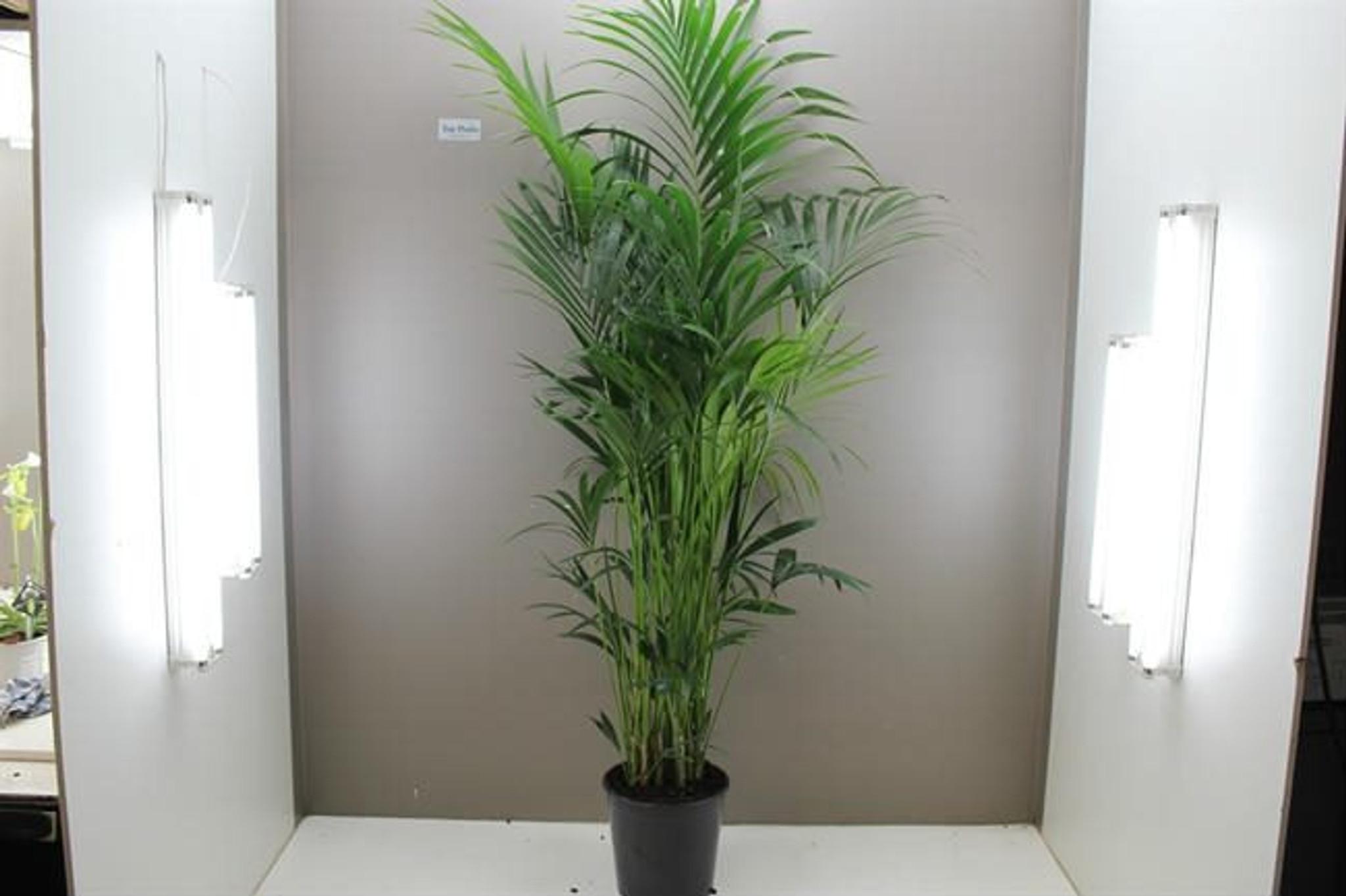 2m Kentia Palm