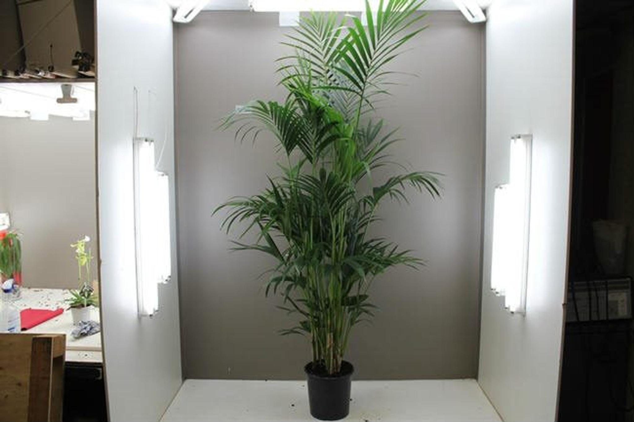 Kentia palm tree 2.2m