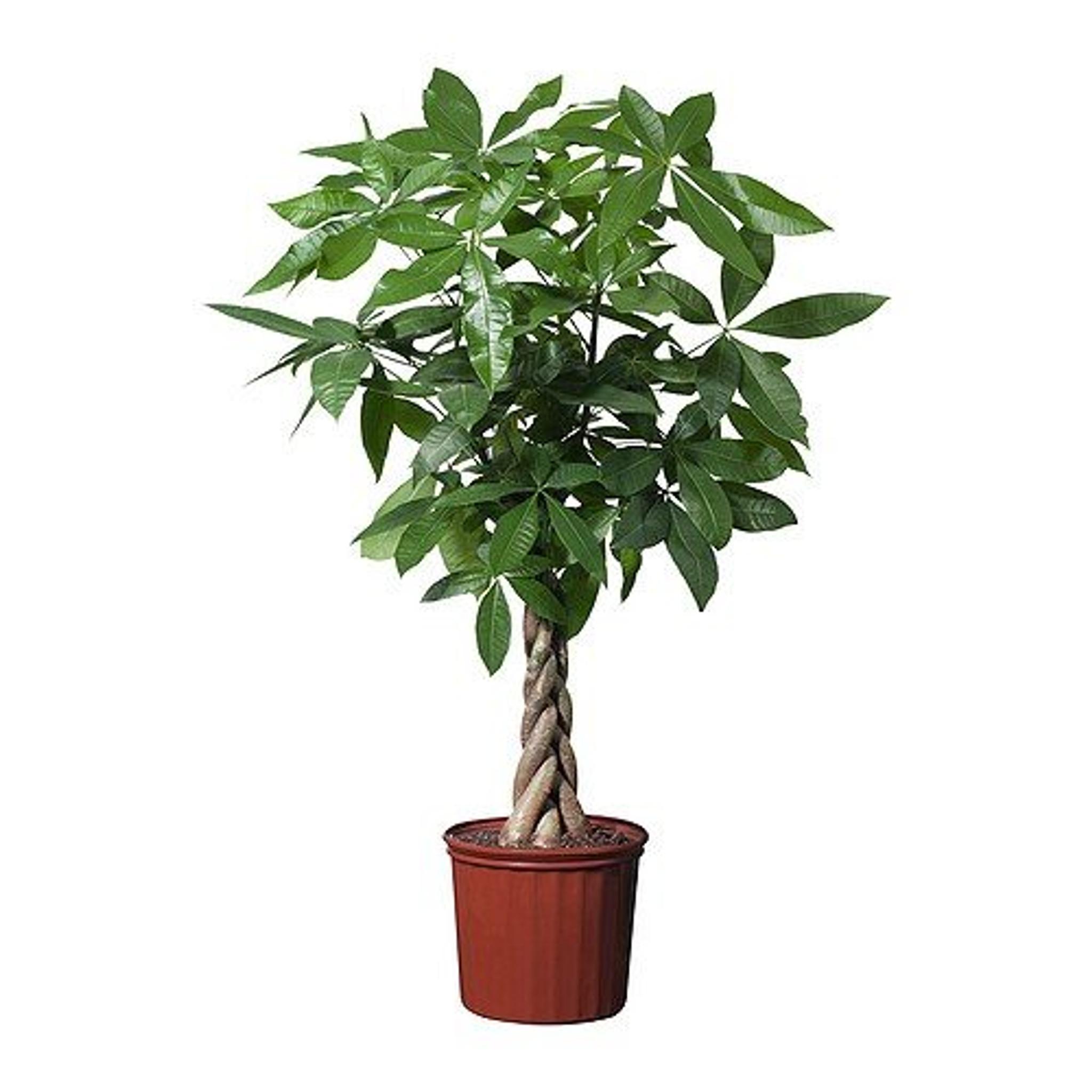 1m Plaited Money Tree Pot 19cm Pachira Aquatica