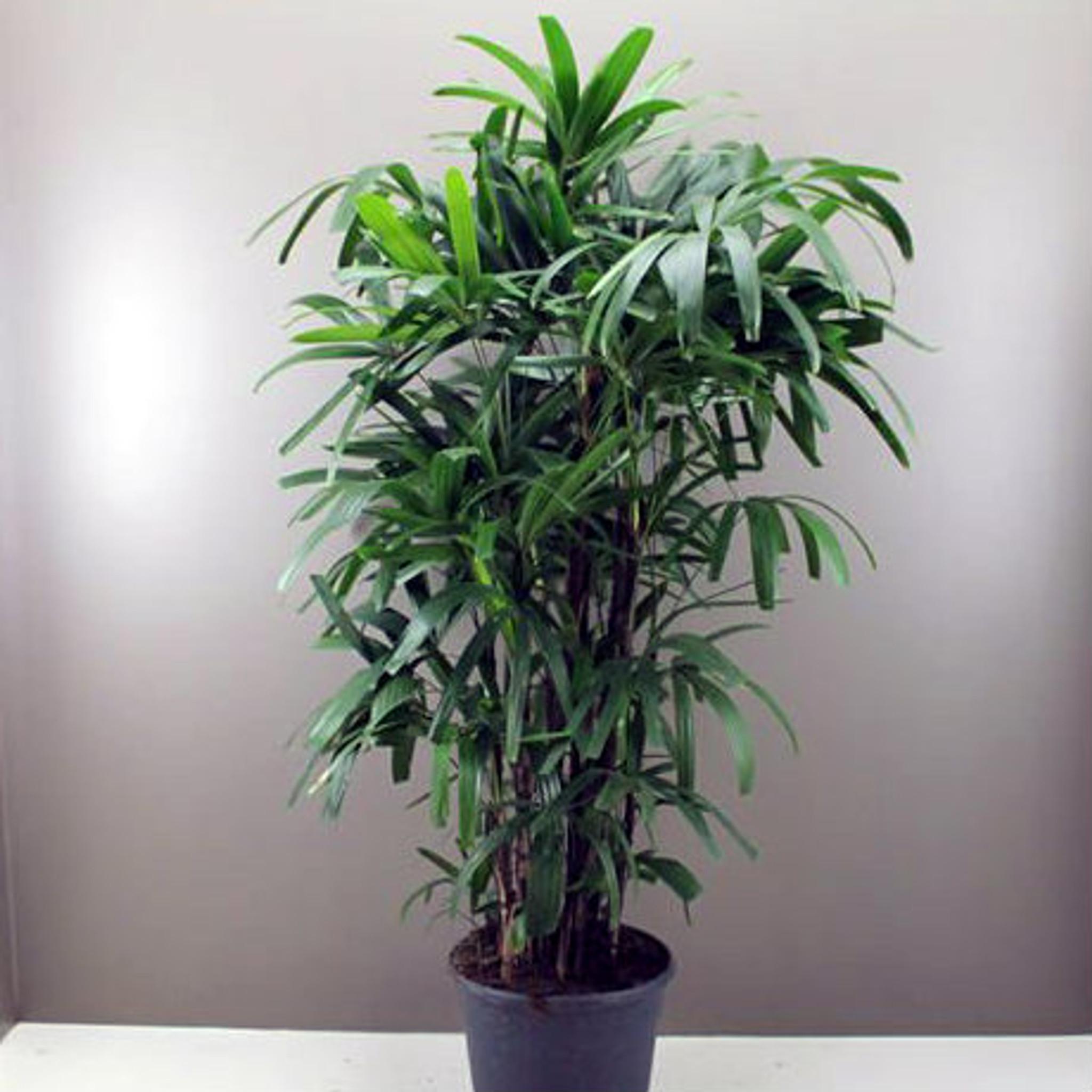 Giant Lady Palm