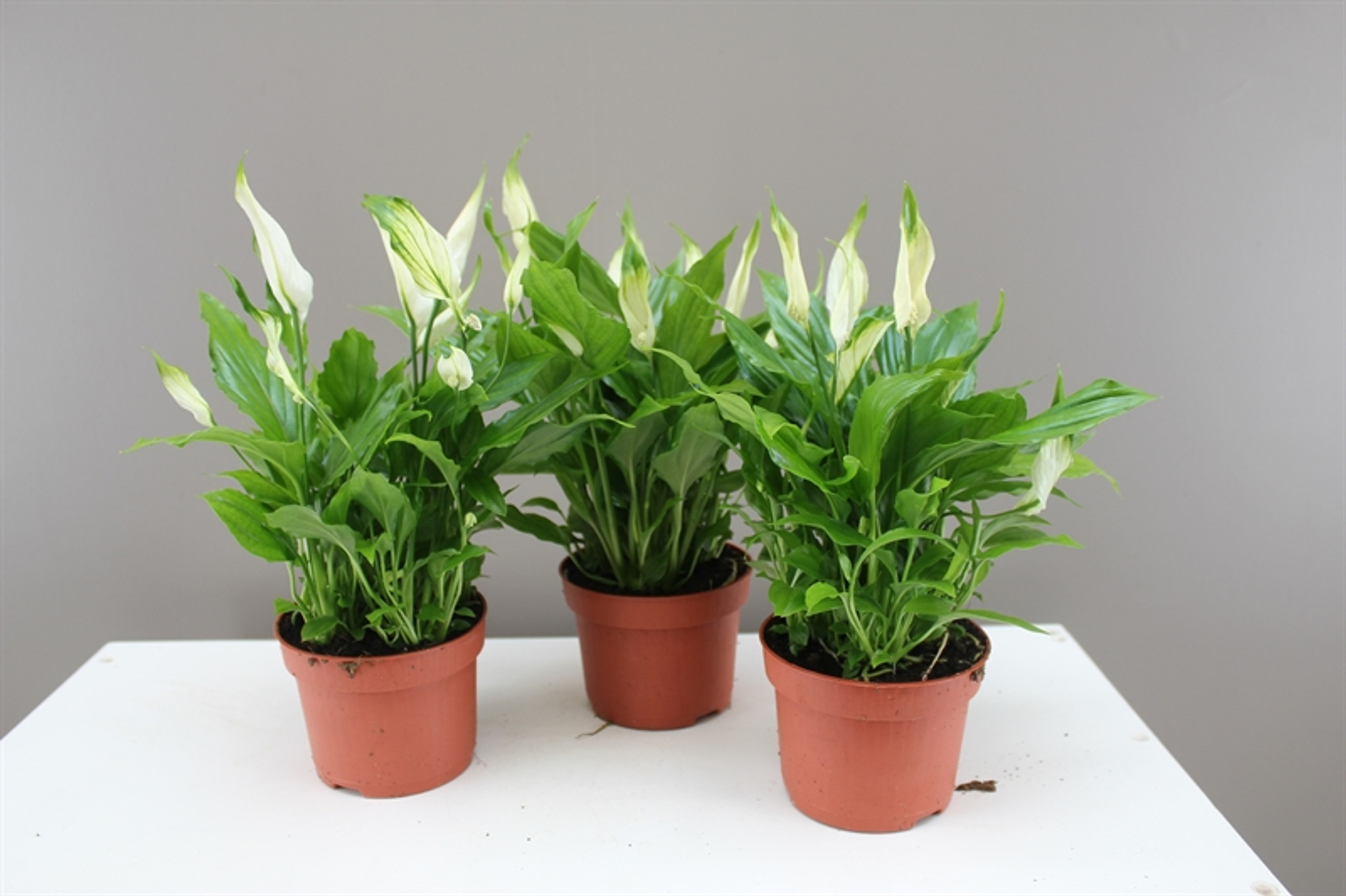 Decorative Peace Lily Gift