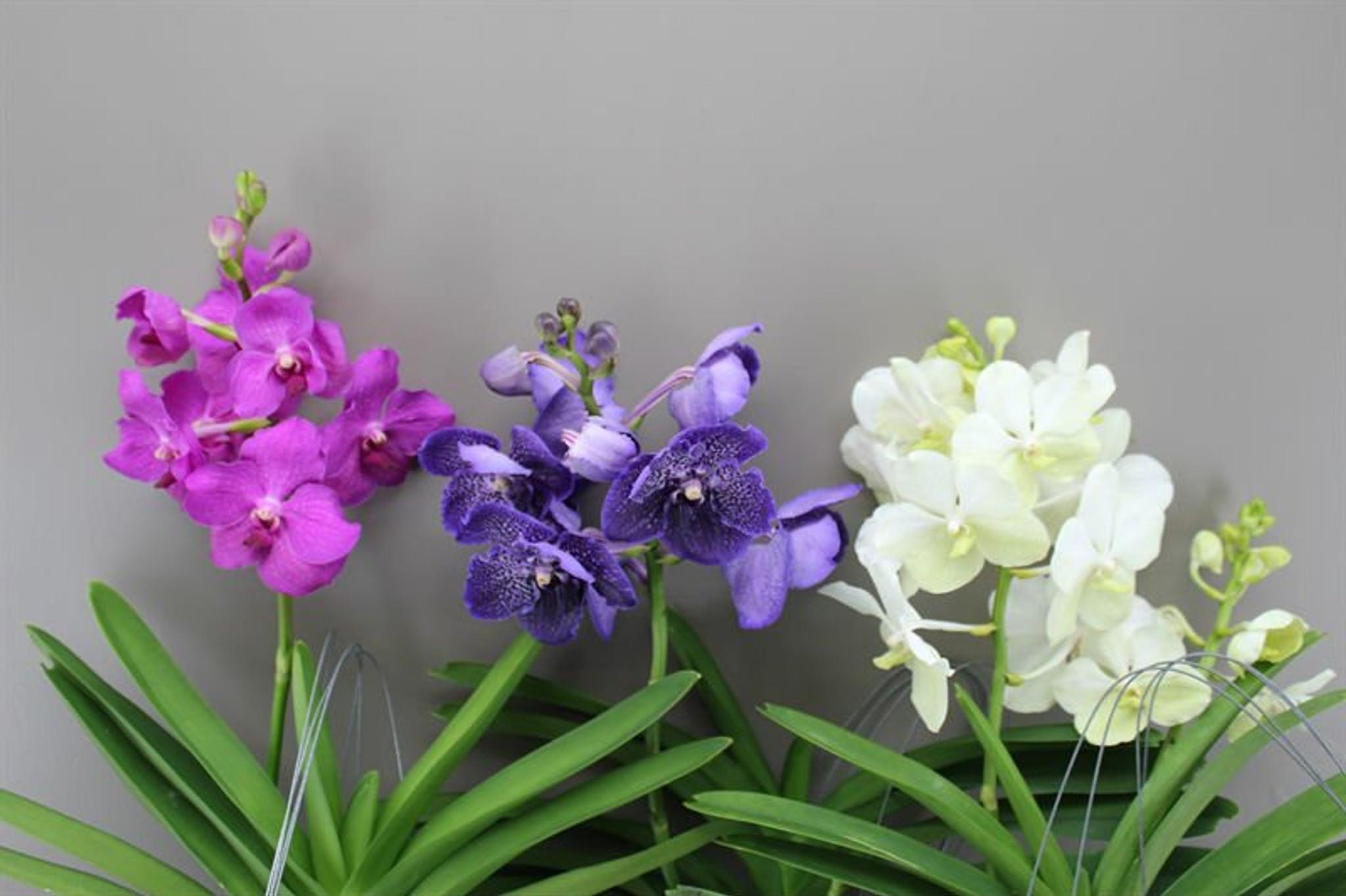 Vanda Magic Orchid