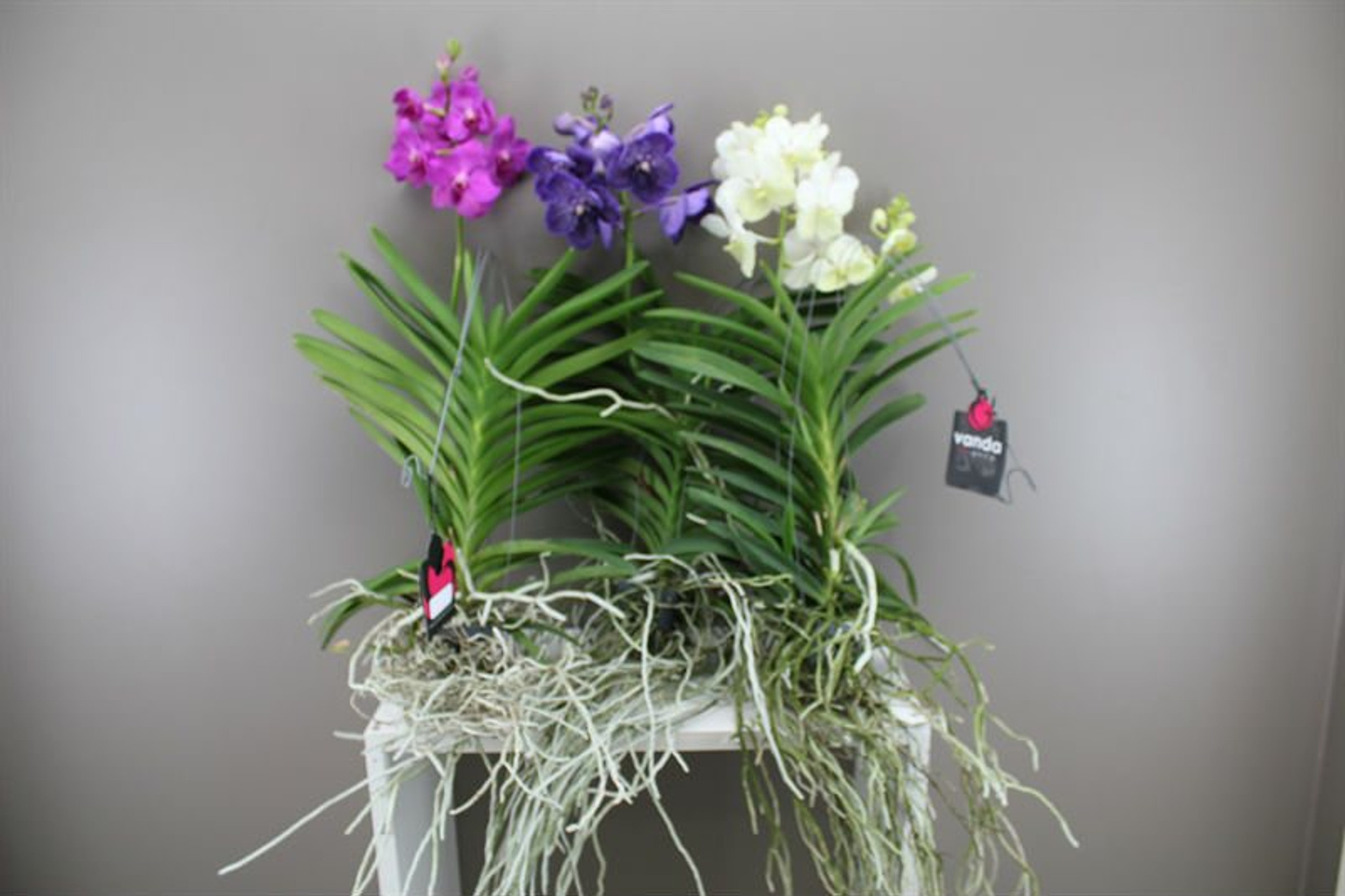 Christmas Orchid Gift