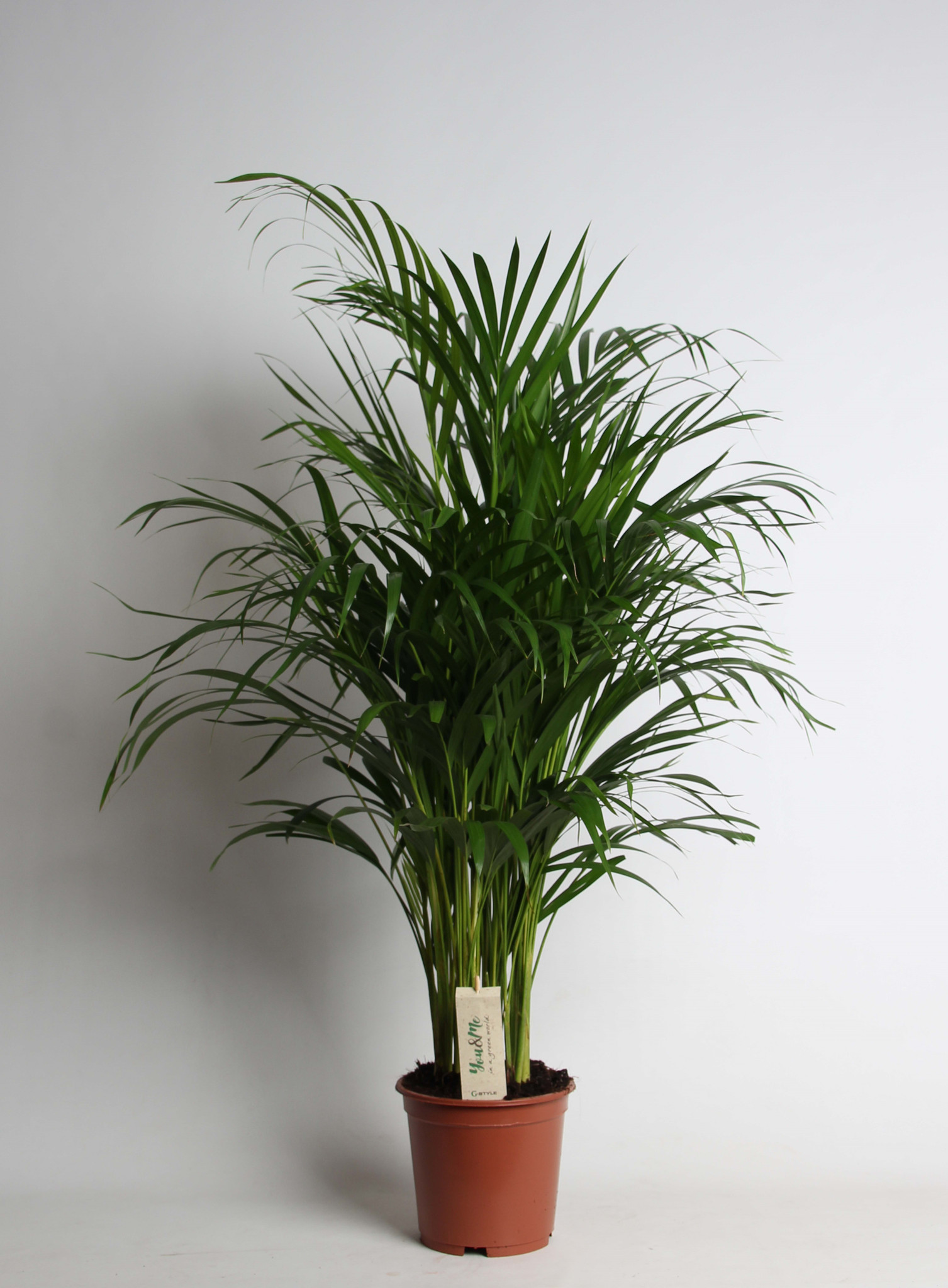 Butterfly Indoor Palm Tree 90cm