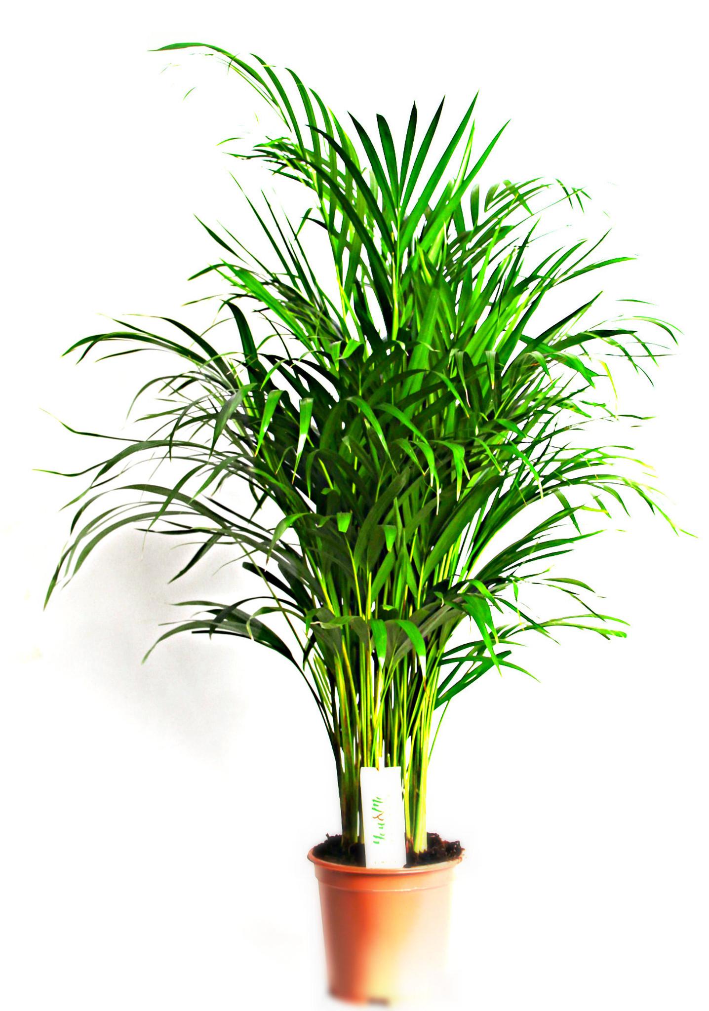 Dypsis Areca palm tree , ( Chrysalidocarpus lutescens)  Large Indoor Palm Tree
