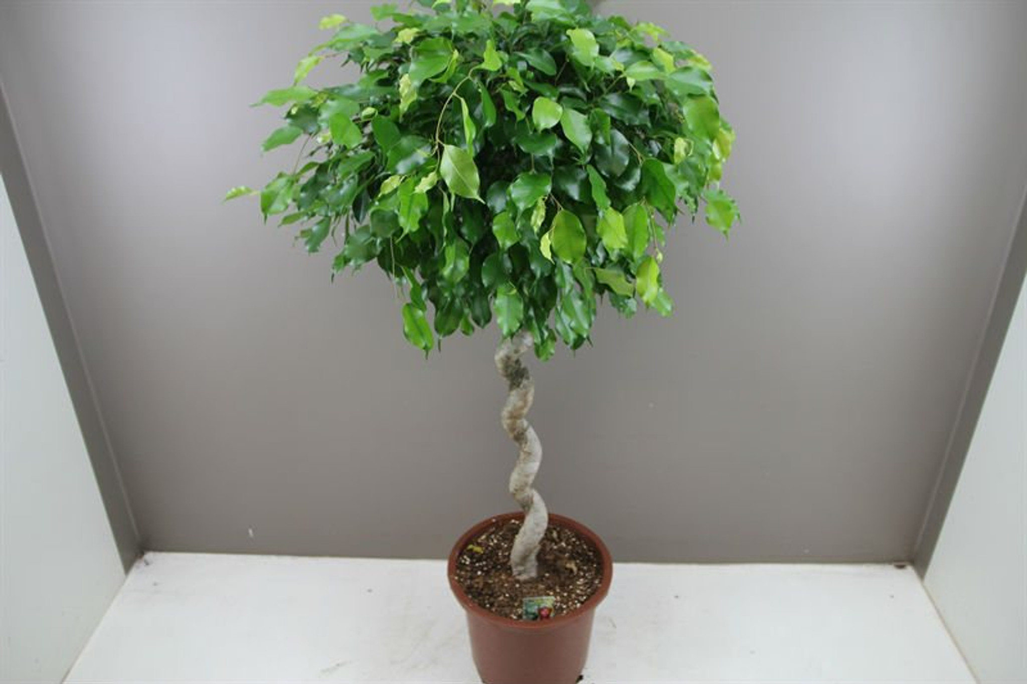 Ficus gift plant