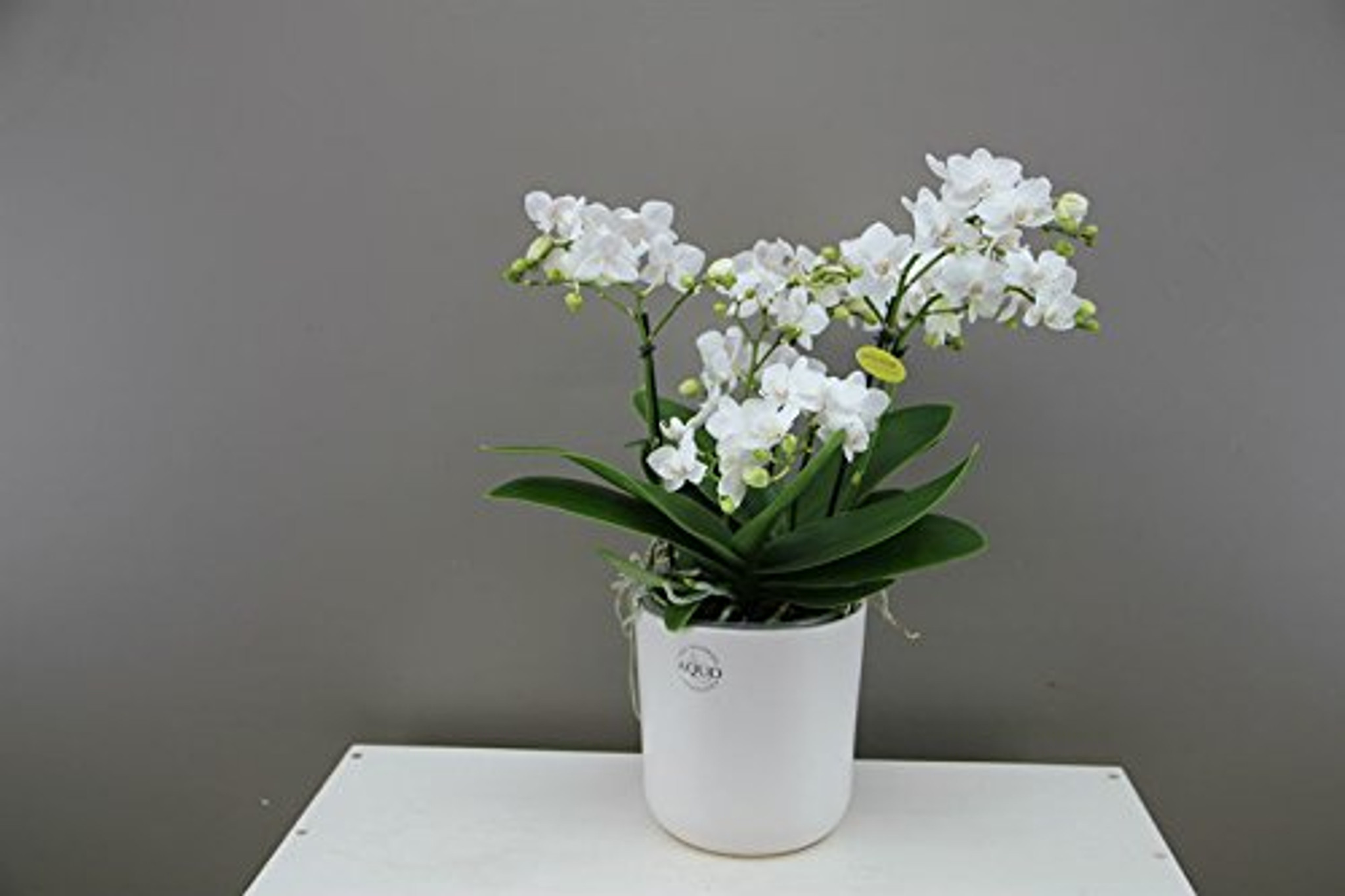 White Phalaenopsis Bellissimo