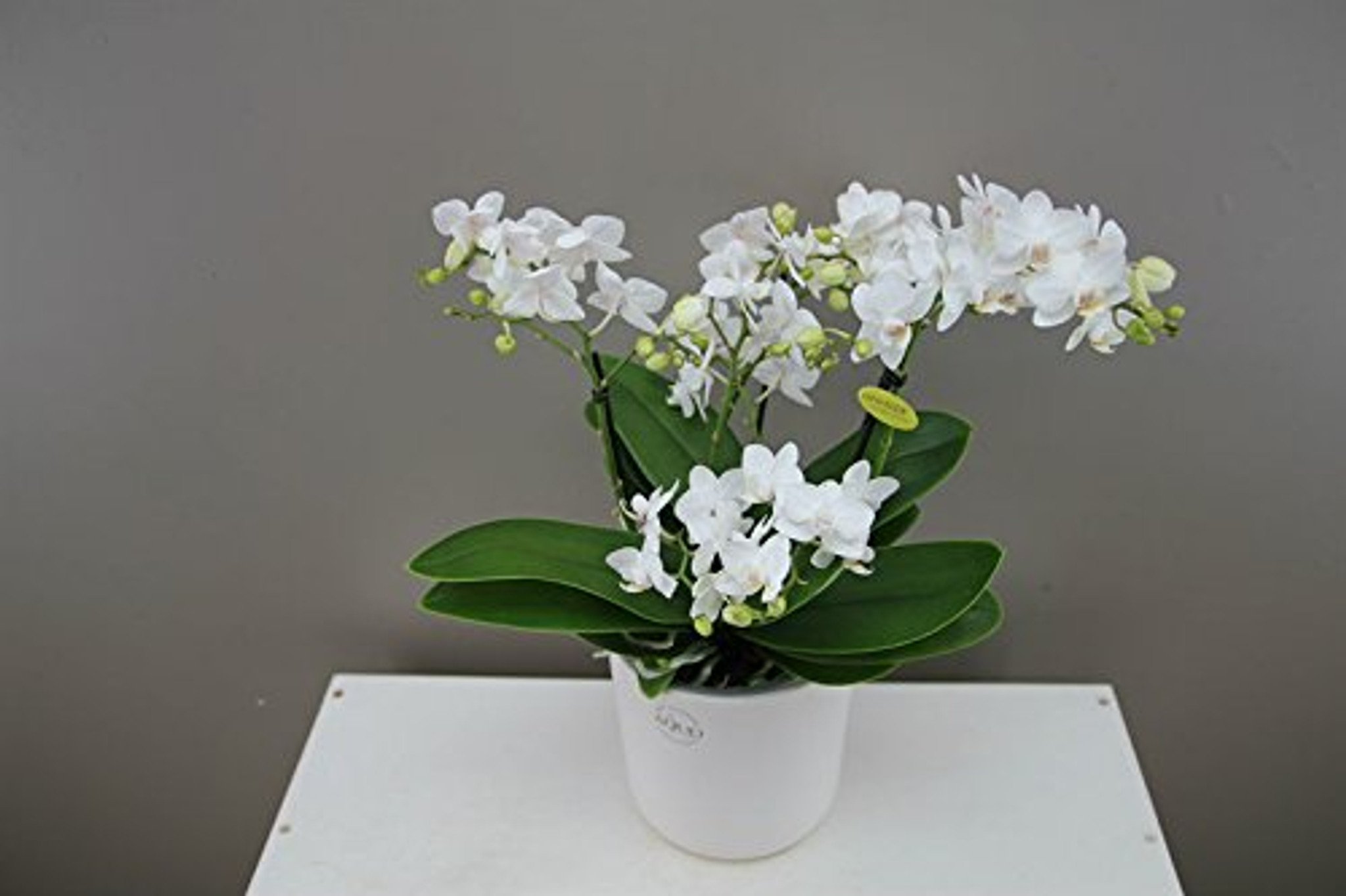100 flower white orchid