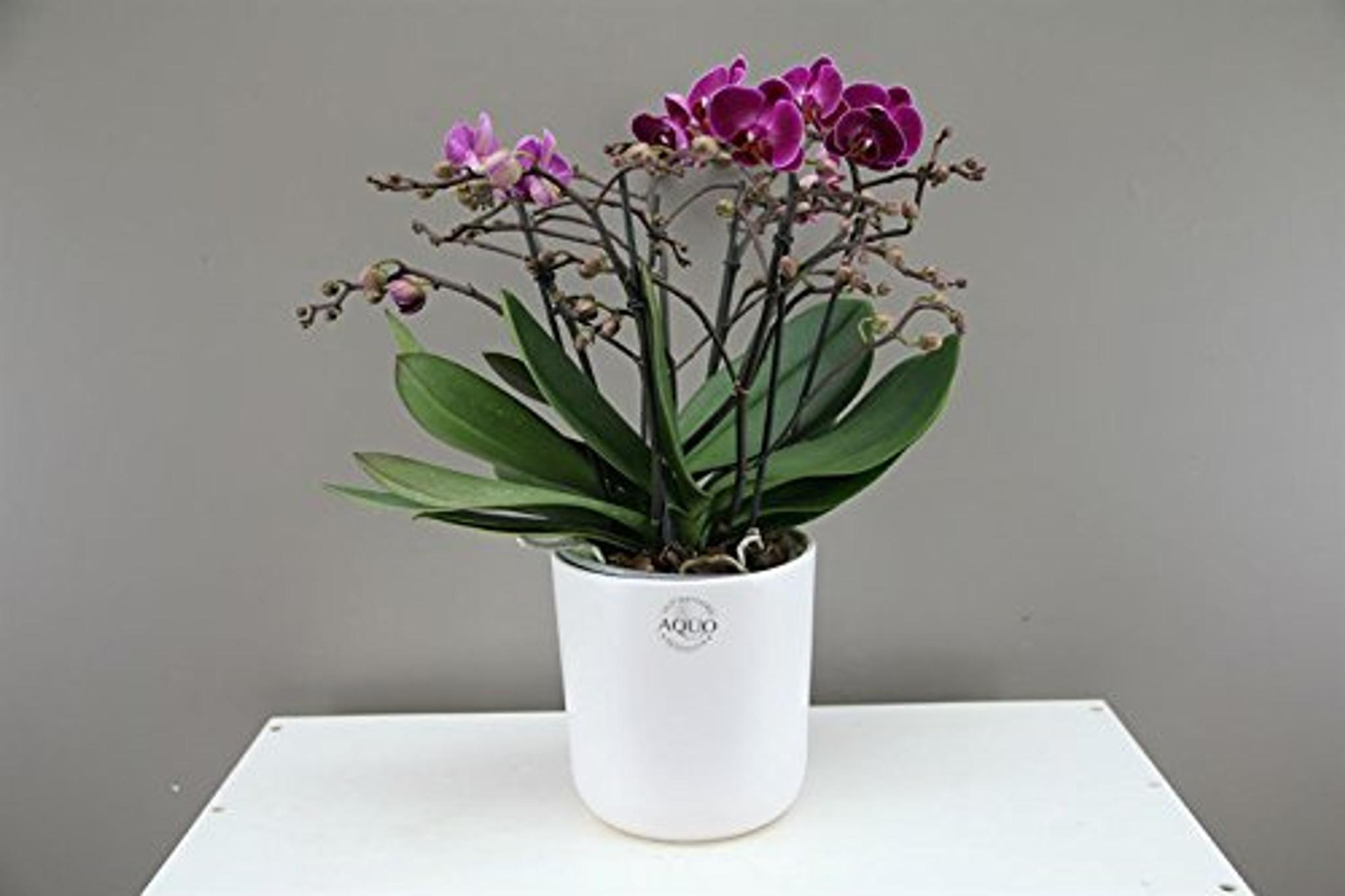 Purple Phalaenopsis Bellissimo