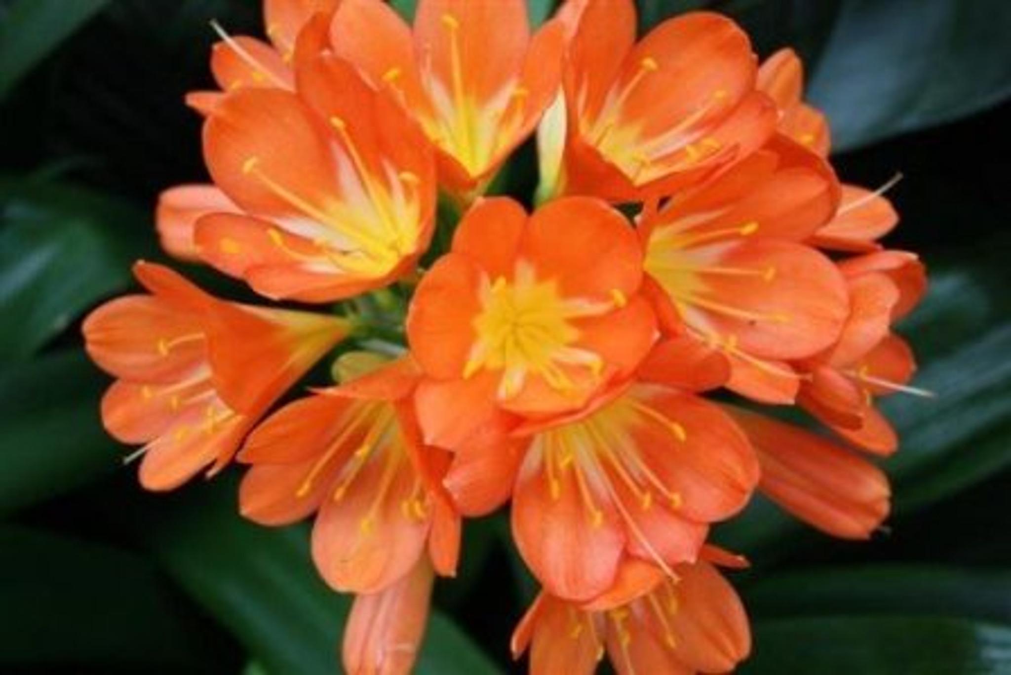 Indoor Clivia with orange flowers