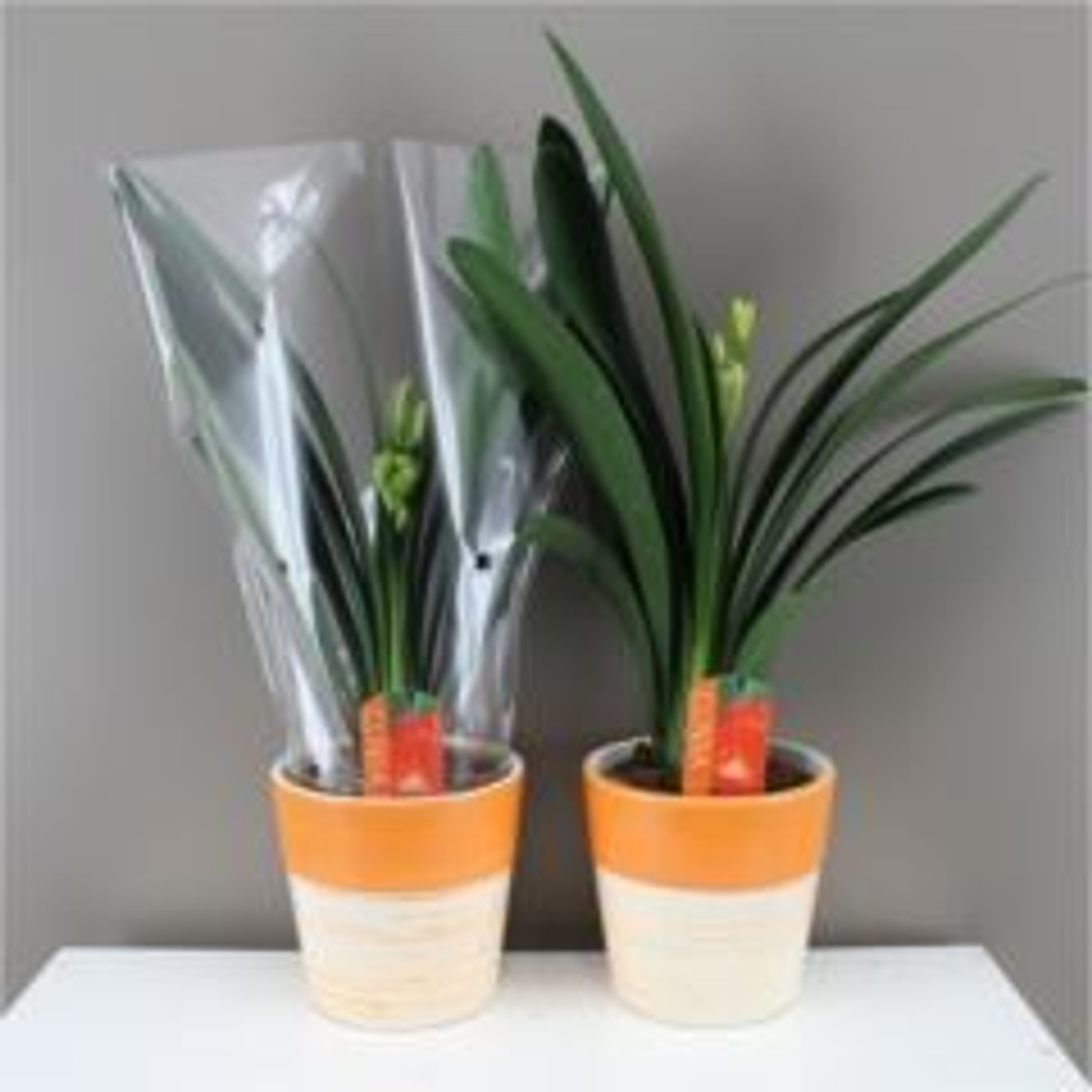 One of these Clivia  with ceramic pot.