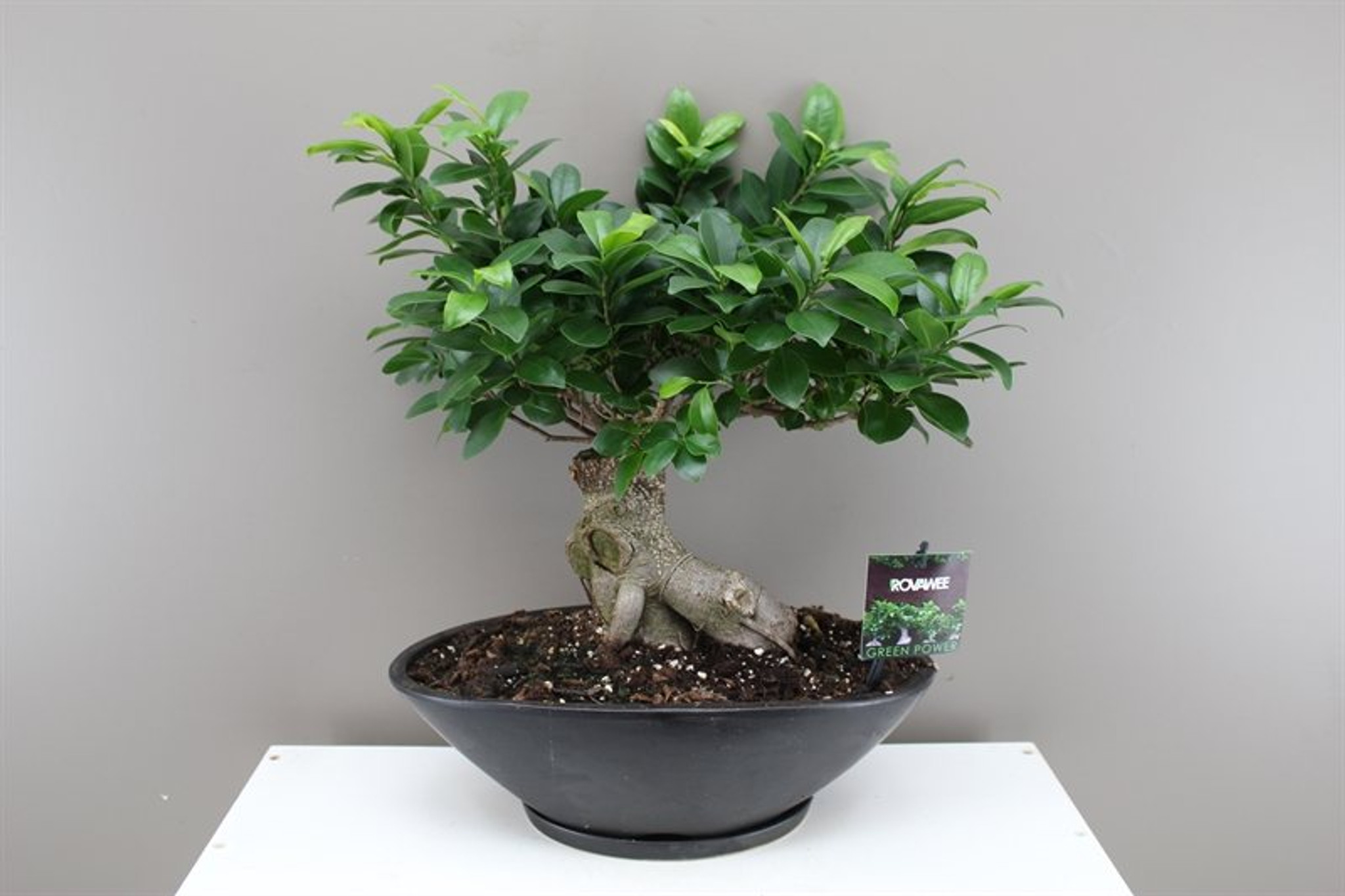Ficus Ginseng Oval planter
