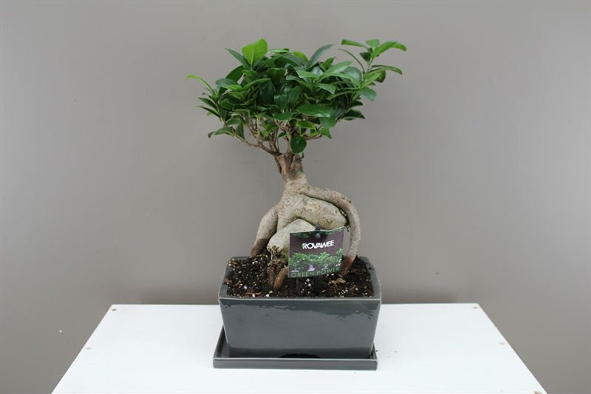 Rectangle Ficus Bonsai
