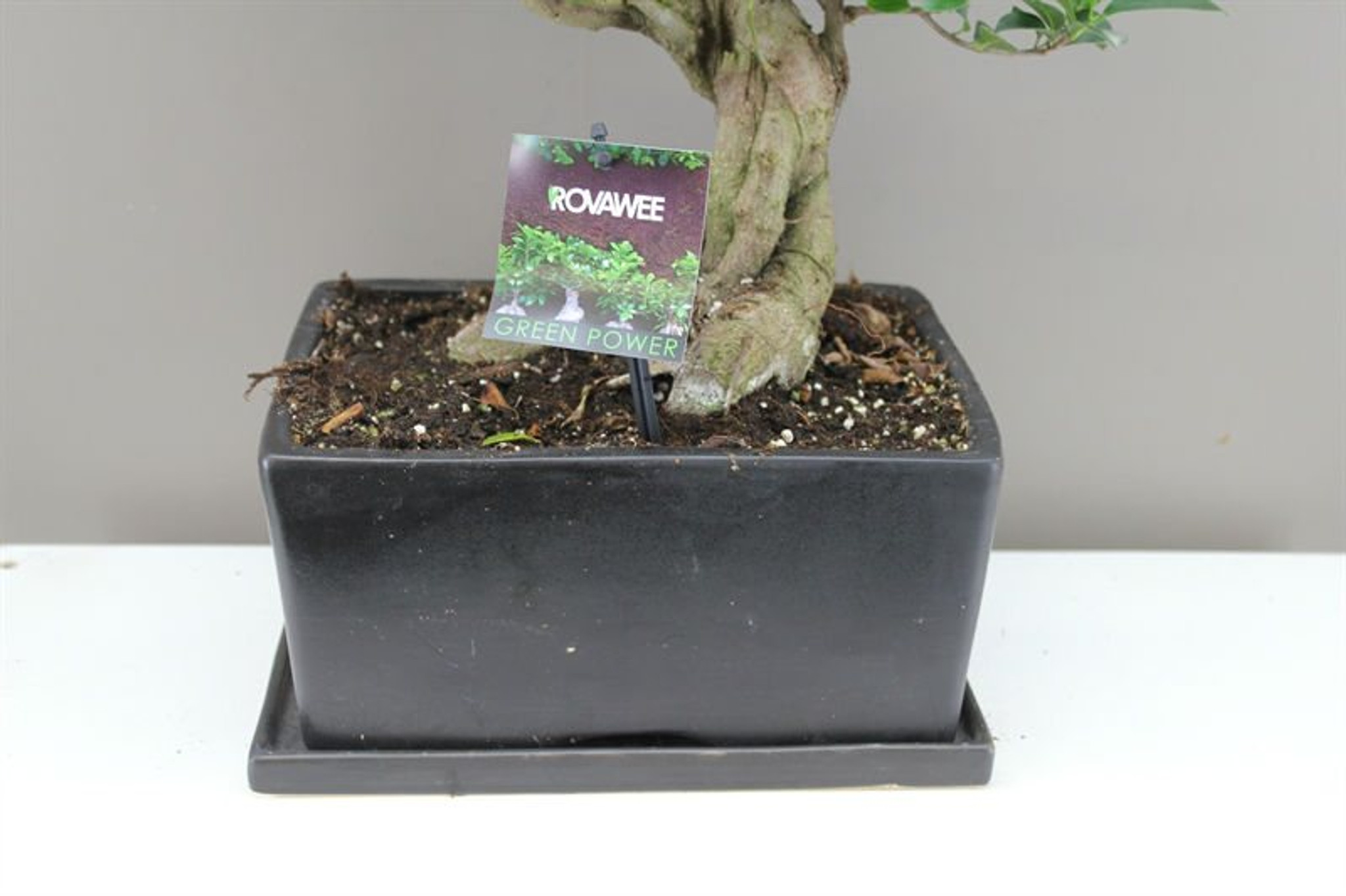 Ceramic Rectangle Planter with Banyan Fig Tree