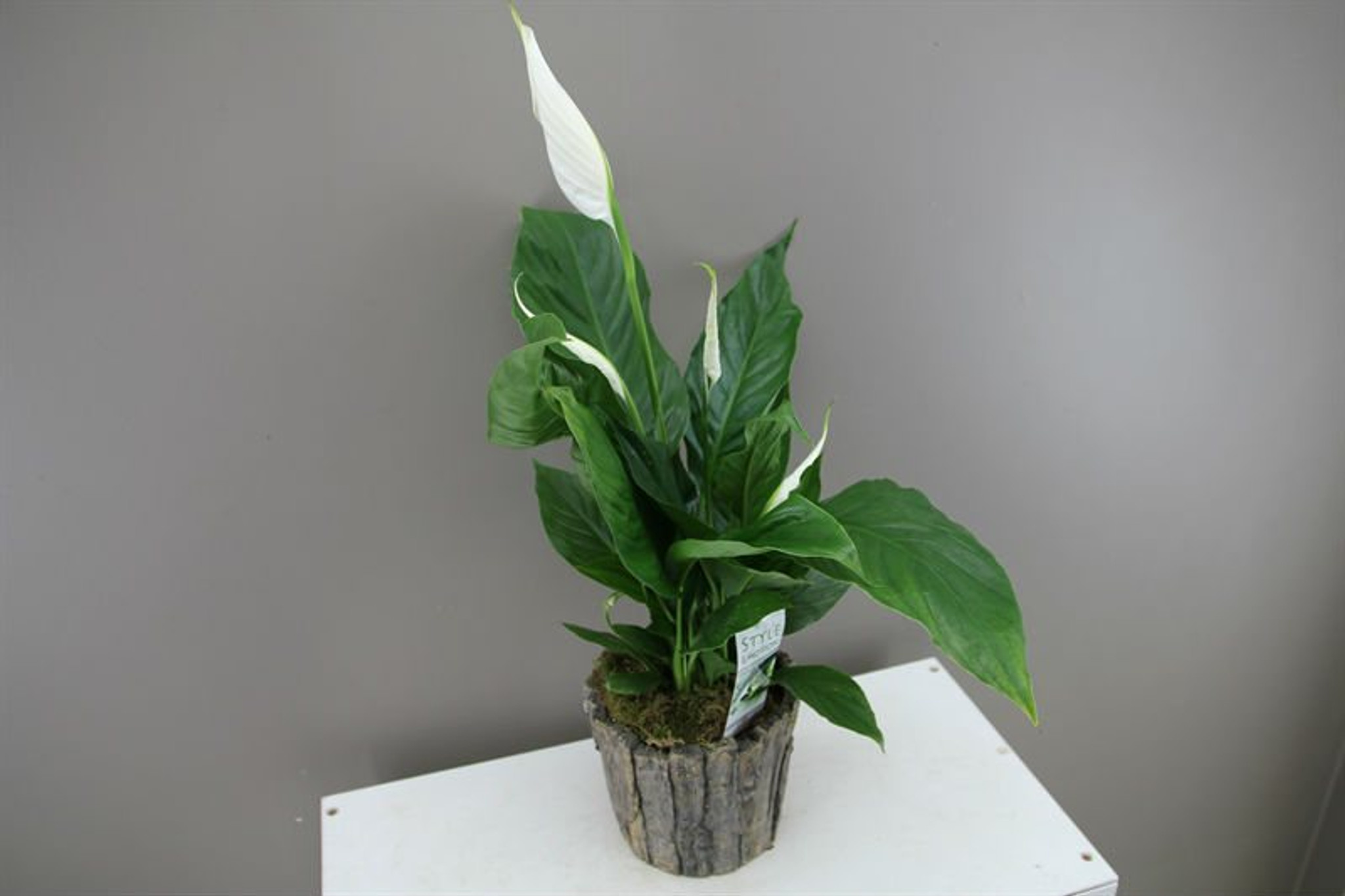 Spathiphyllum Silvio with ceramic planter