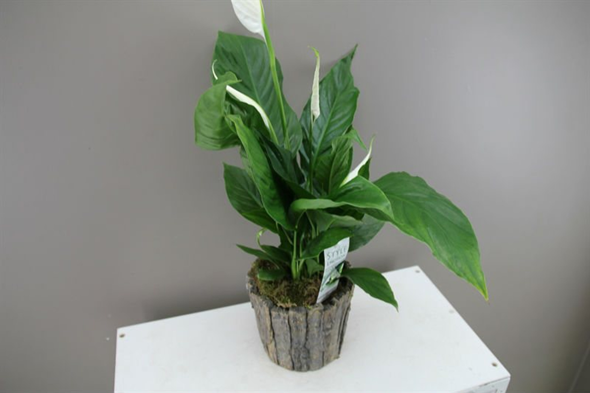 Tree trunk planter with Peace Lily