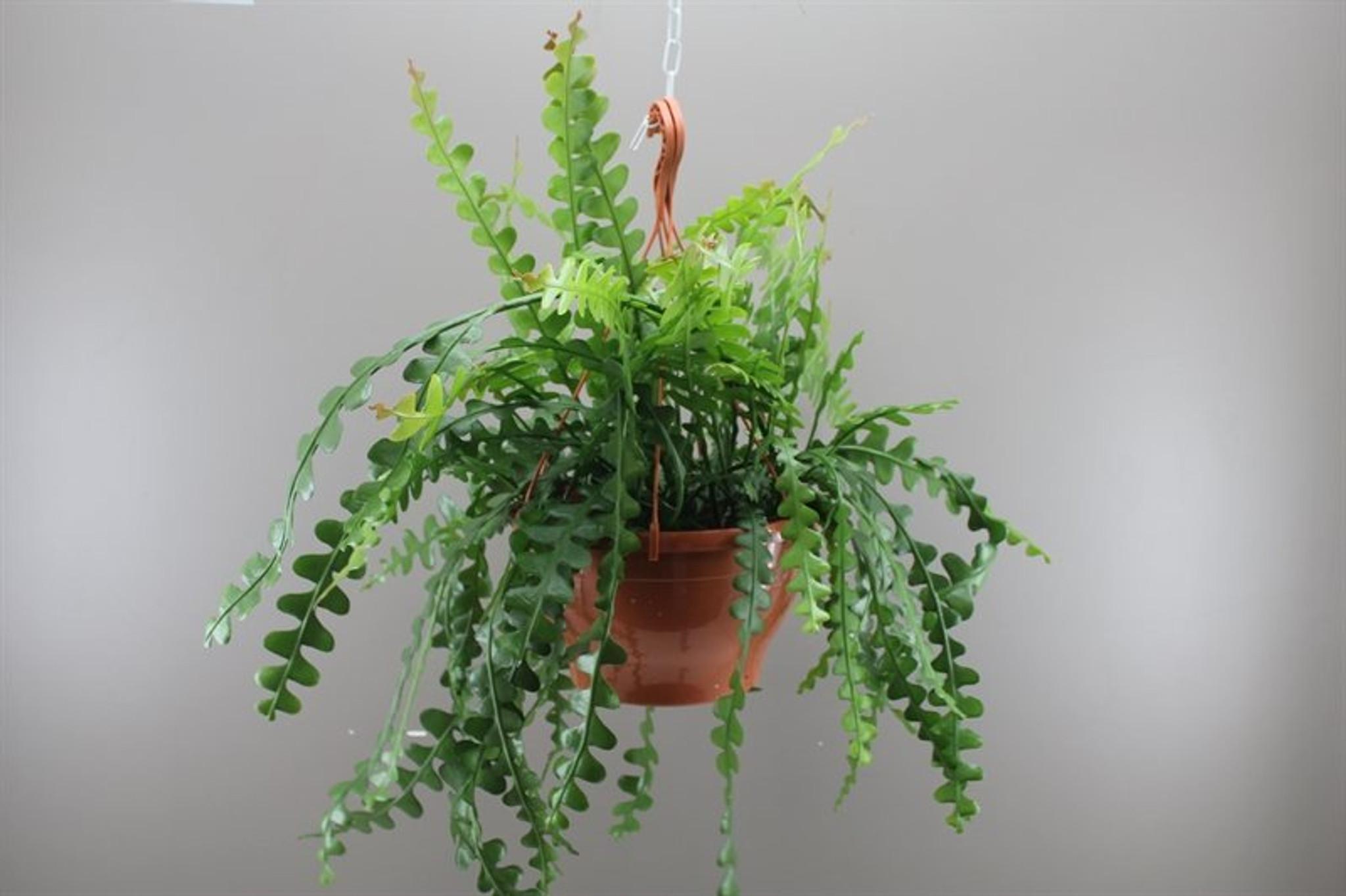 Zig Zag Cactus