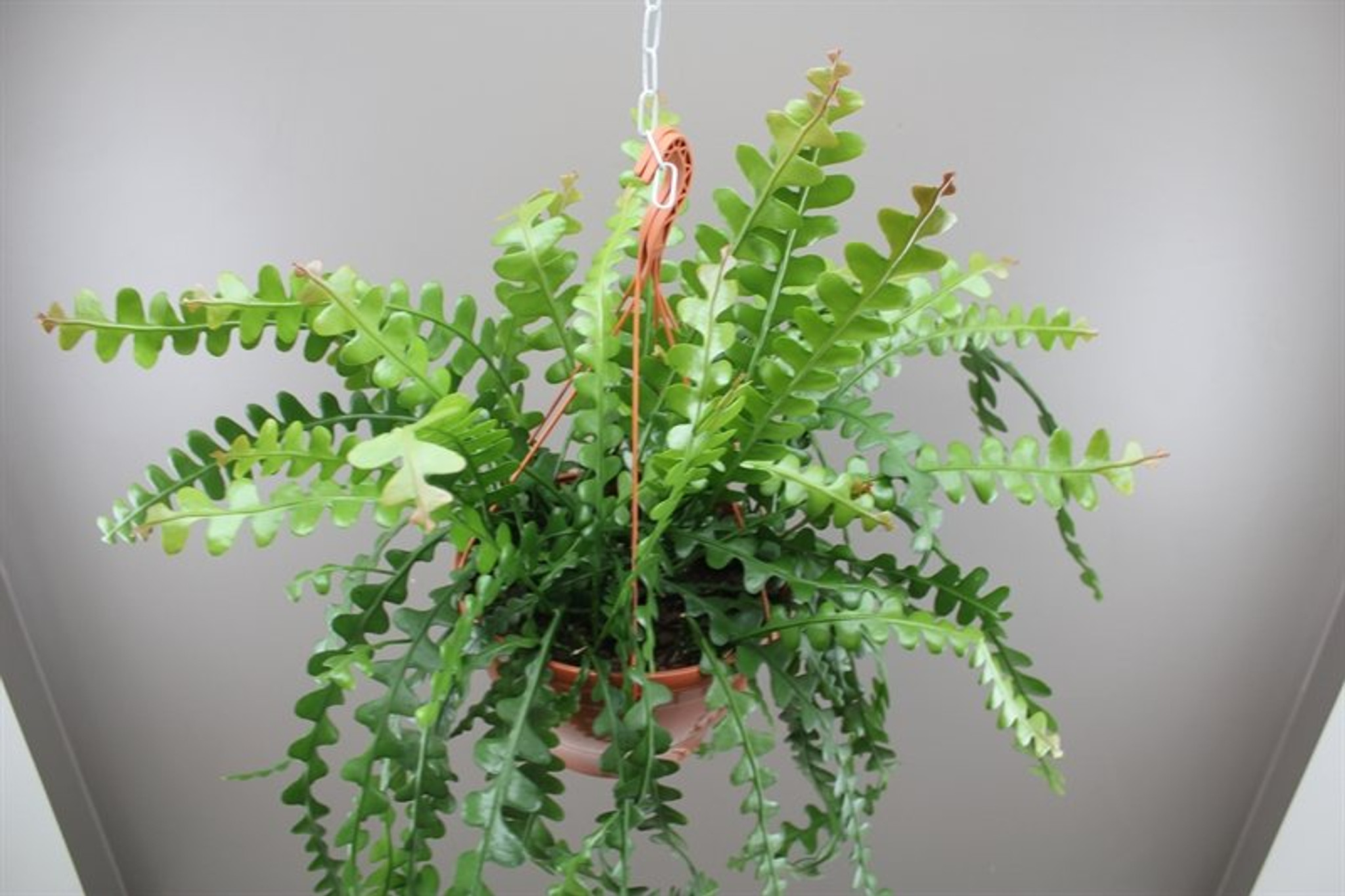 Large hanging fishbone cactus