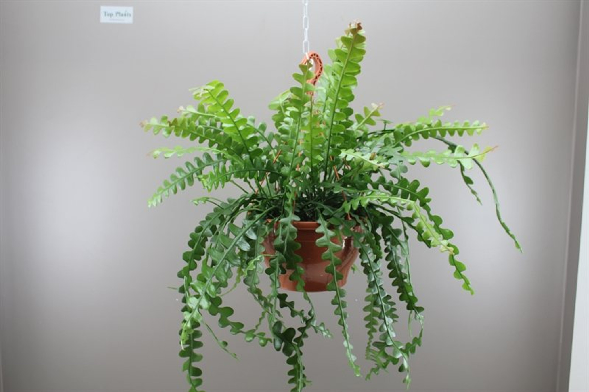 Hanging indoor evergreen
