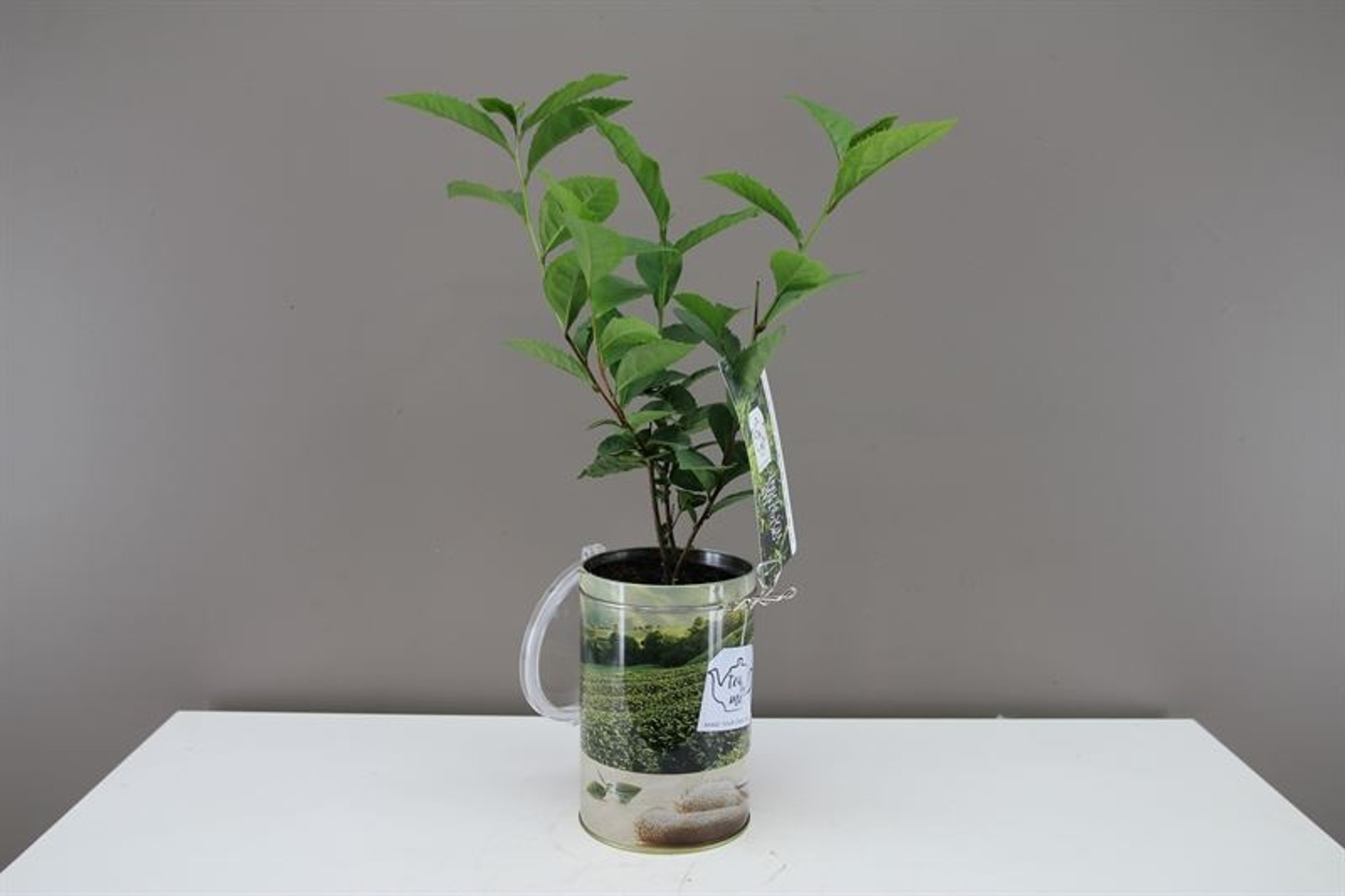 Great Gift , Tea Plant
