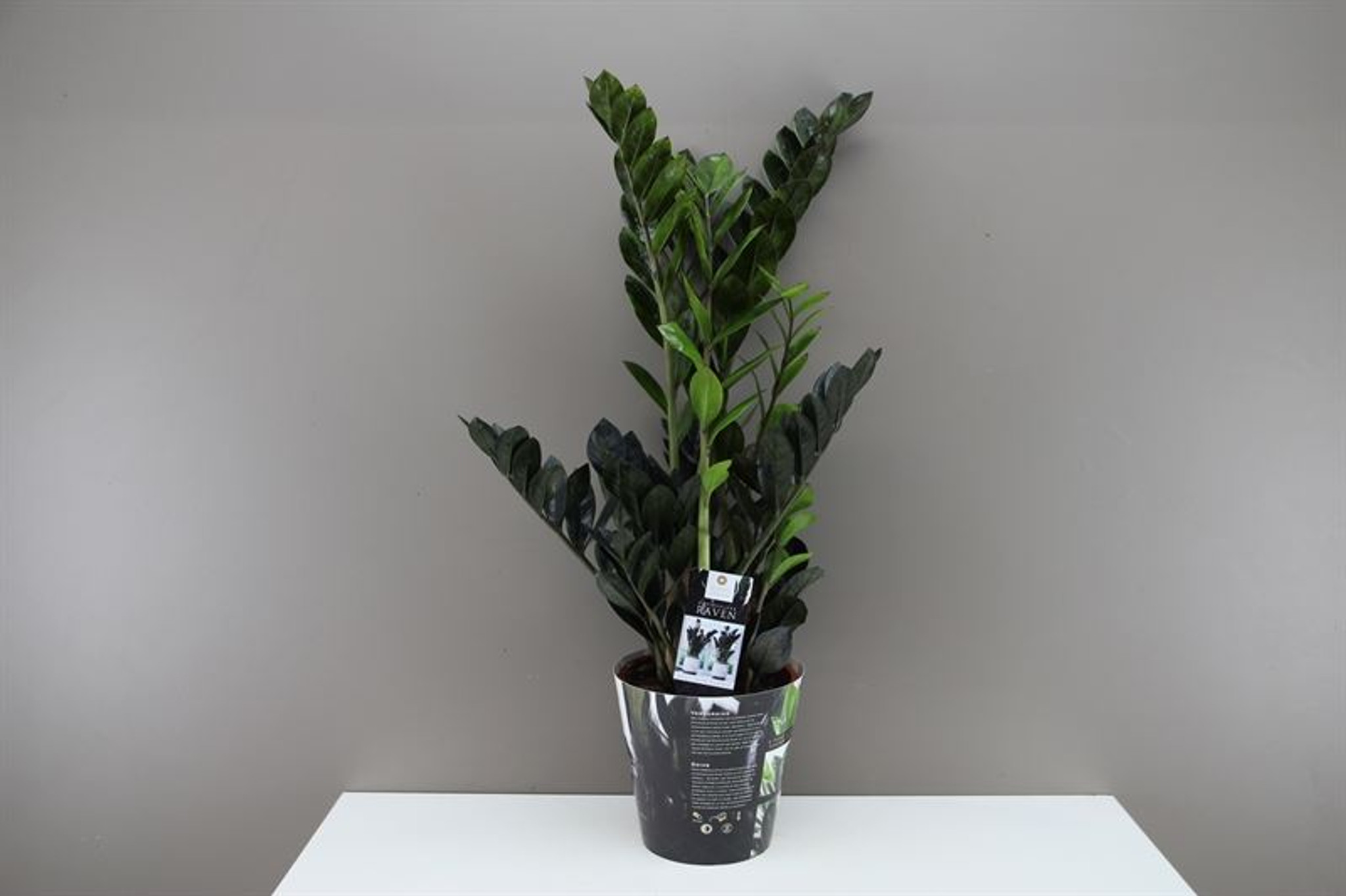 Colour changing  ZZ plant