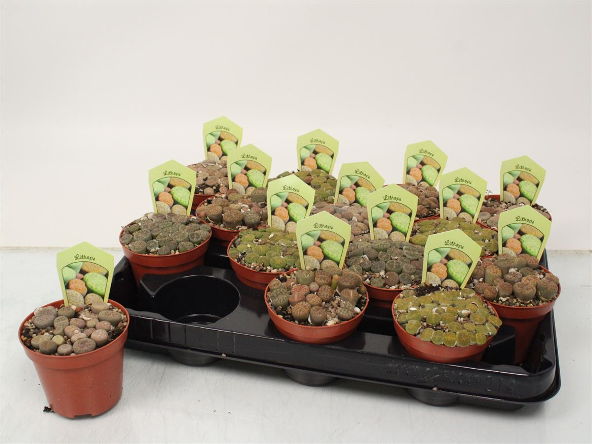 Larger pot of lithops 3 -4 years old.  mixed varieties.