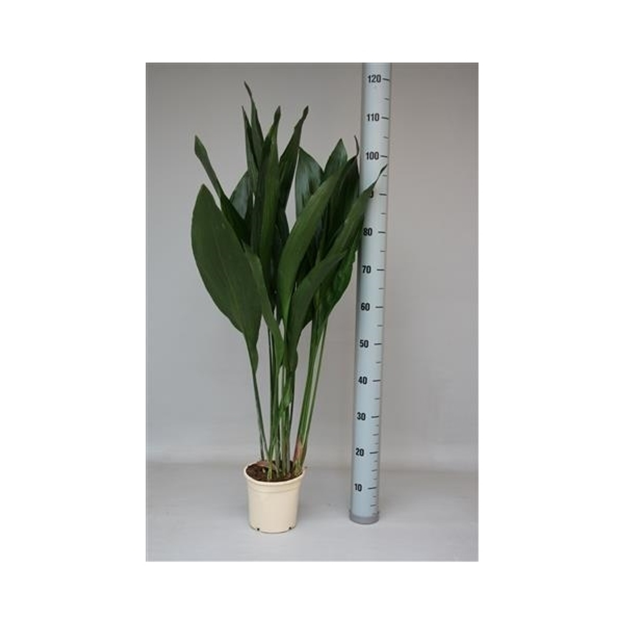 Cast iron plant Aspidistra plant  Height may change from 70cm to 115  up to the season and availability