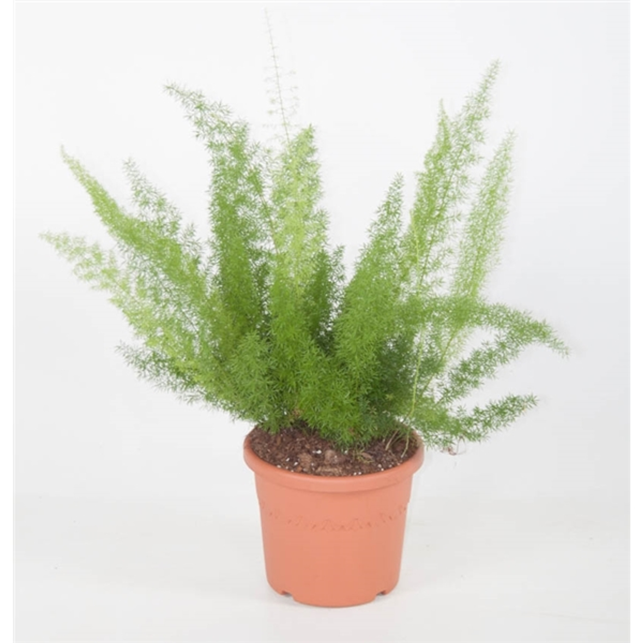 'Myers' Asparagus Fern - Foxtail fern Extra Large -Pot size 21cm, height 70cm.