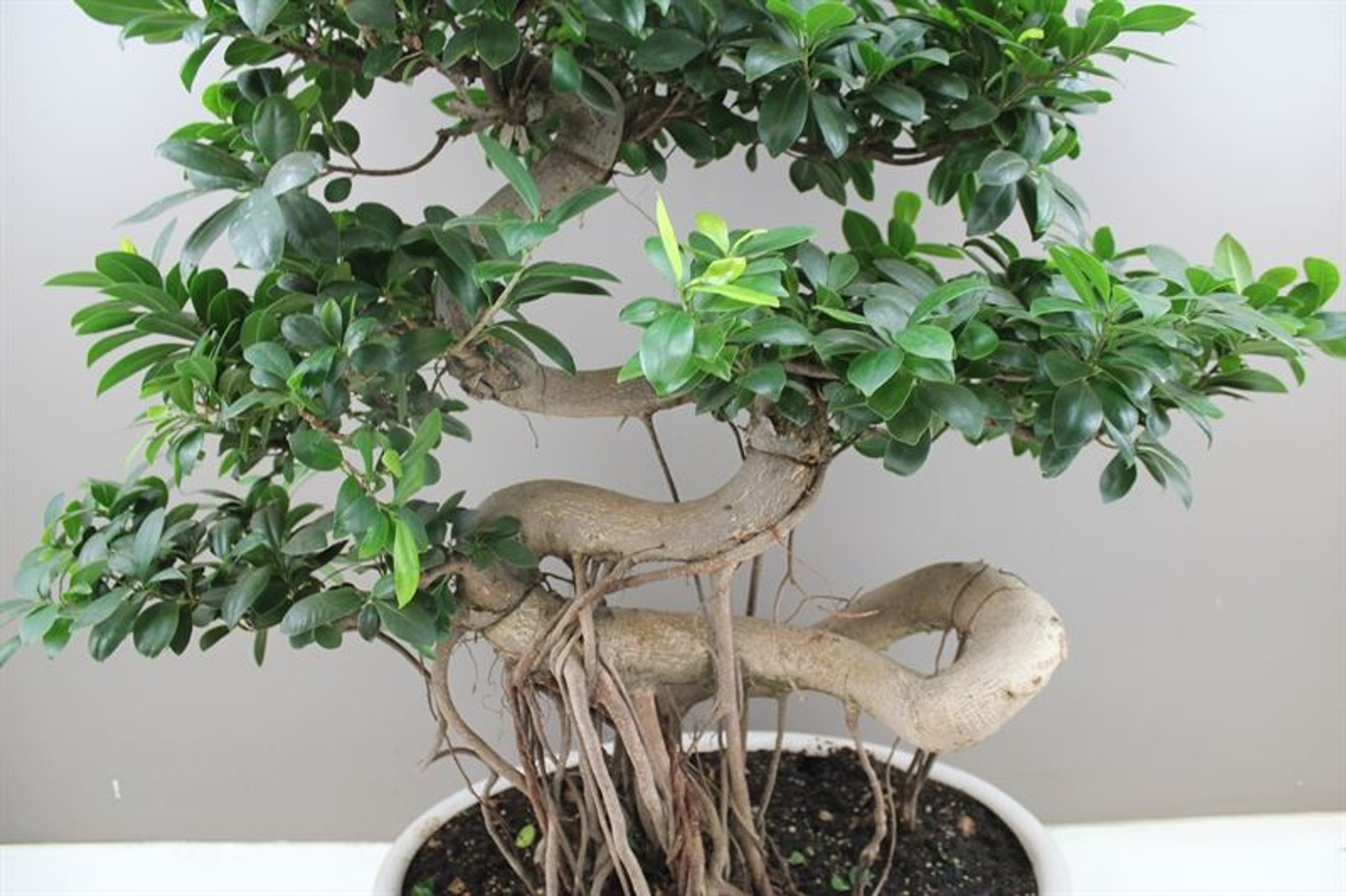 Ficus Ginseng Dragon Root