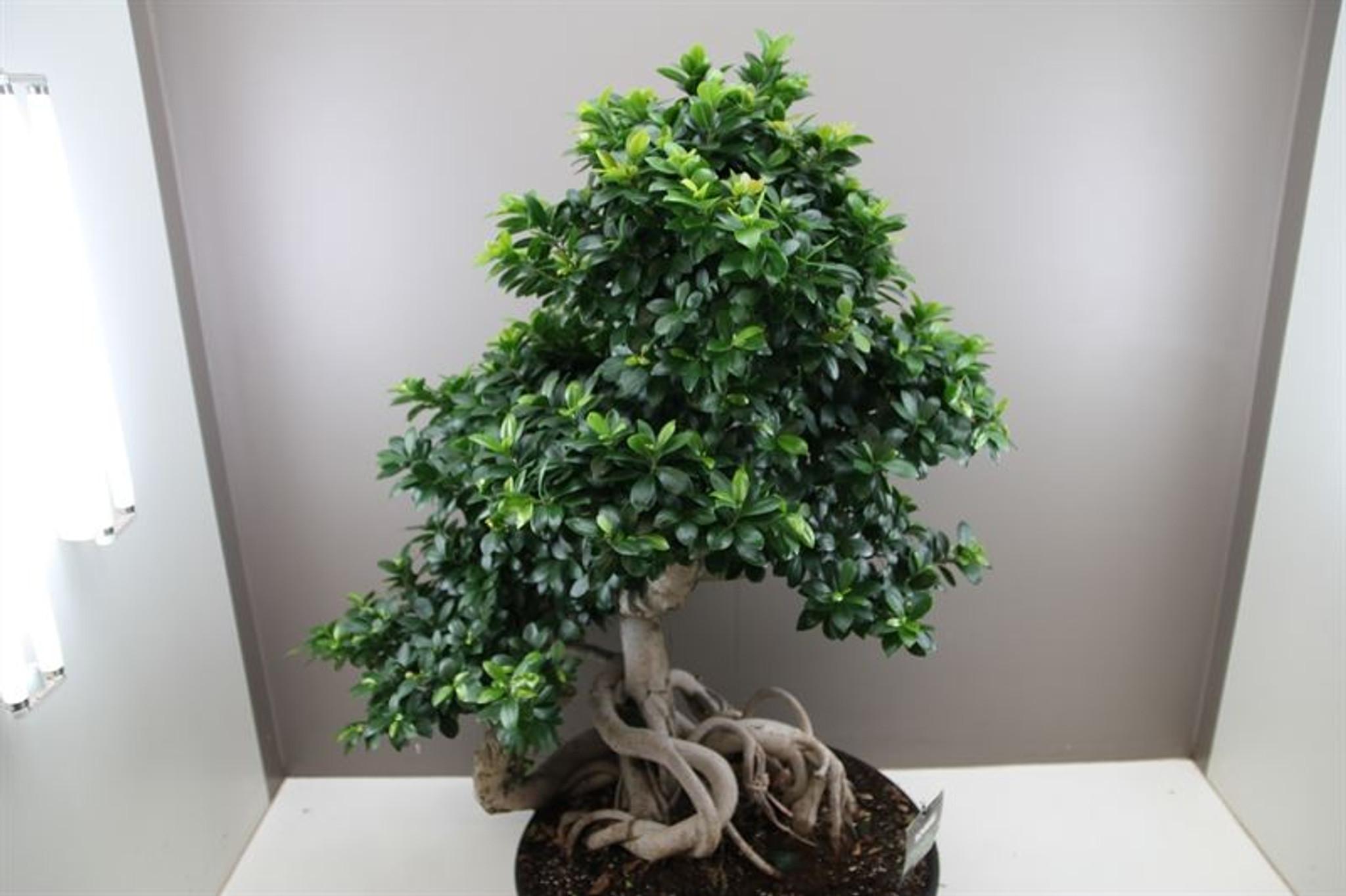 Ficus Microcarpa Special Dragon