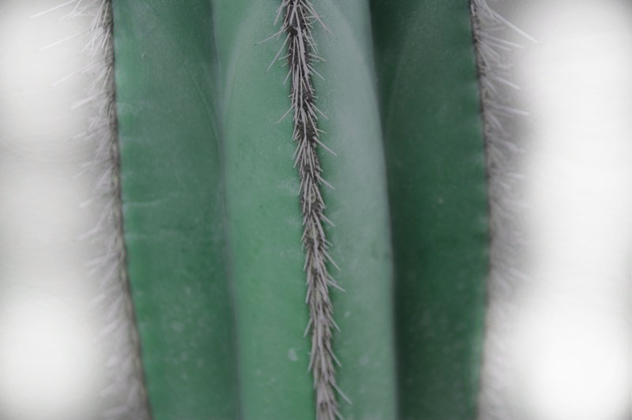 Stenocereus Marginatus Cereus Margin p35 Height 120 in a terracotta pot. Order online delivered straight to you or to address you like it to go to.  Large cactus planted in a terracotta pot for indoor or outdoor
