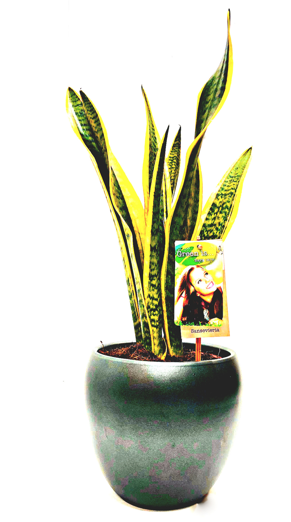 Other options : Large  Mother's in law plant, sansevieria in black  ceramic pot.