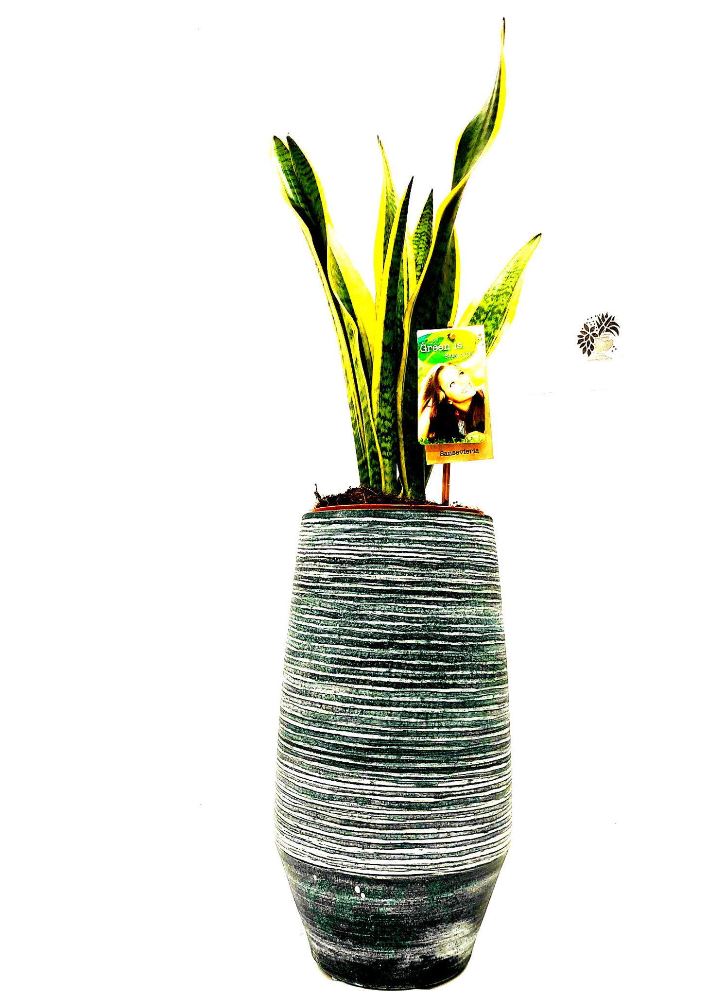 Other options : Large Mother's in law plant, sansevieria Mother's in law indoor houseplant in a tall ceramic handmade planter