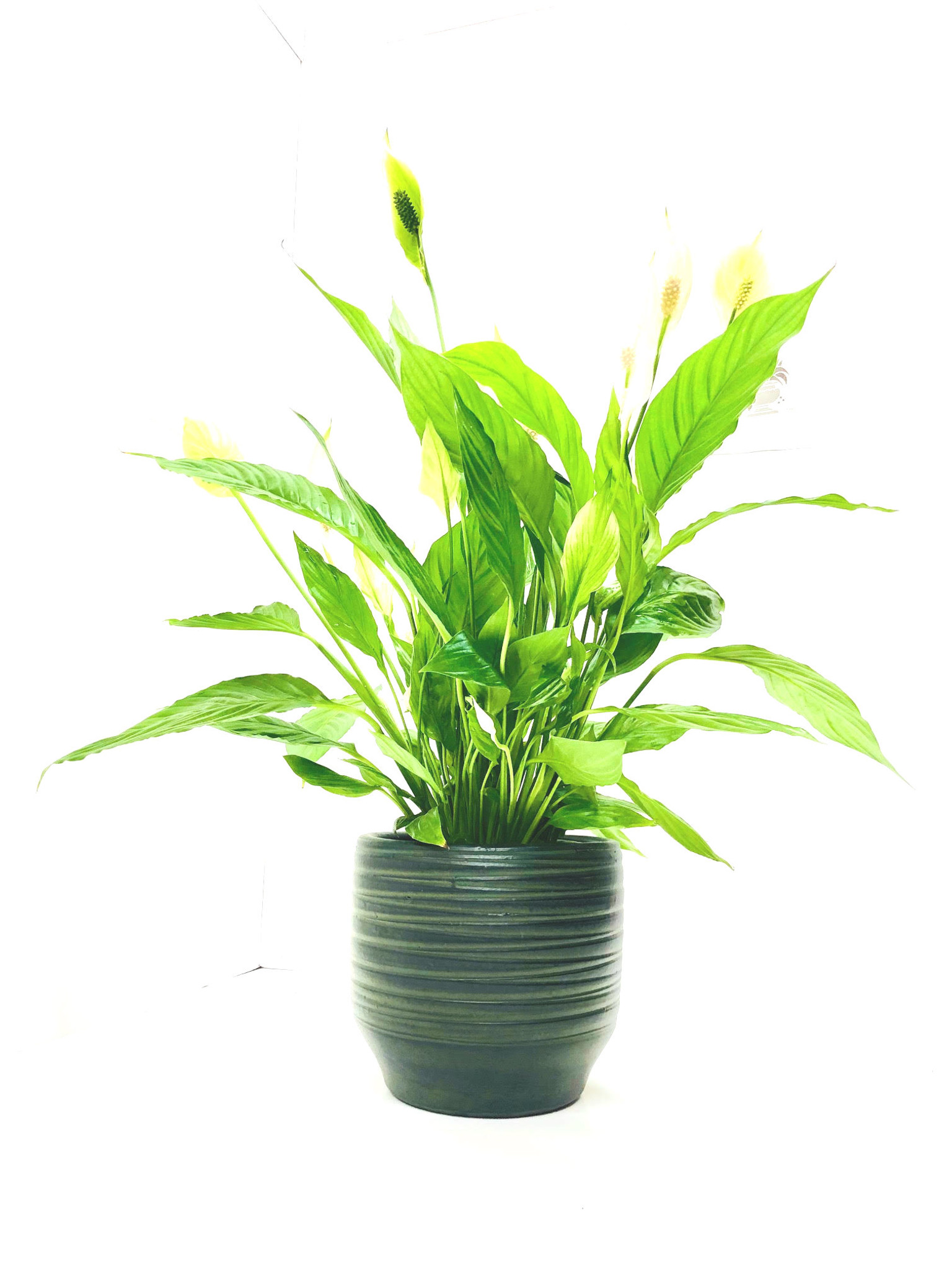 Spathiphyllum vividum is a tall with large flowers Peace lily  house plant  in a tall planter, creating impressive luxury style  great for home offices and reception. Height approx 65-75 cm cm in total