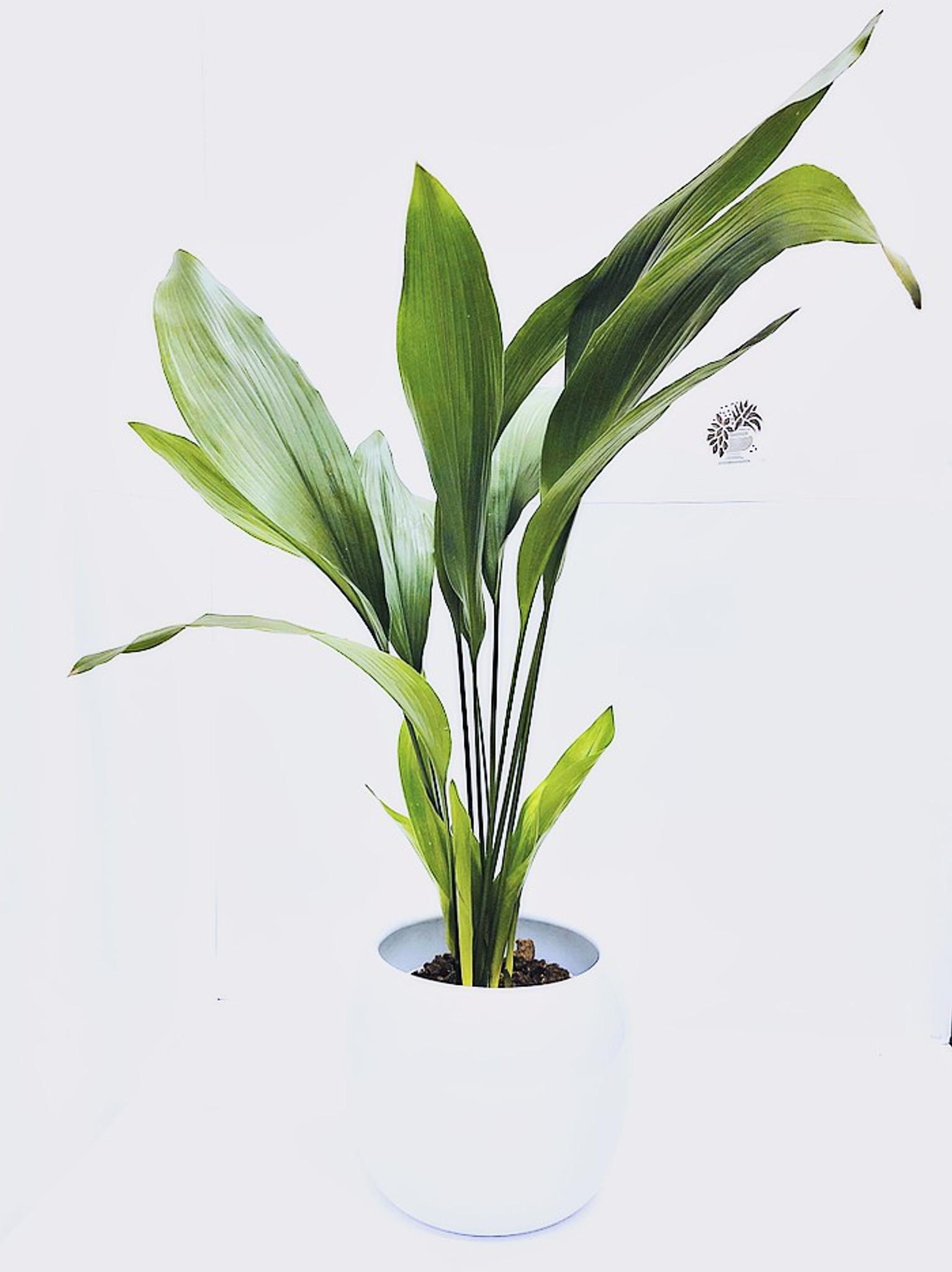 XL Aspidistra plant in a quality ceramic glazed planter.