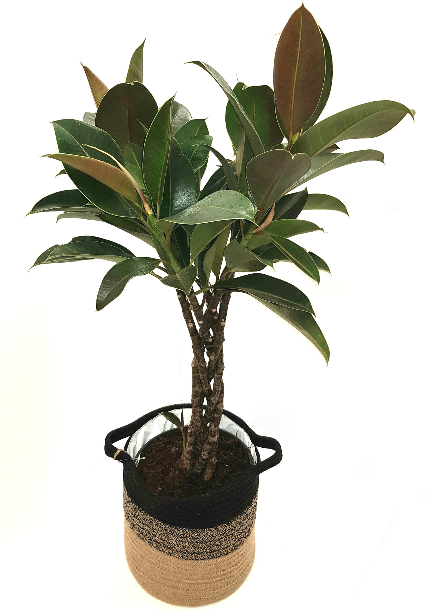 Braided stem indoor house ficus elastica rubber plant .Easy care with large leaves .
