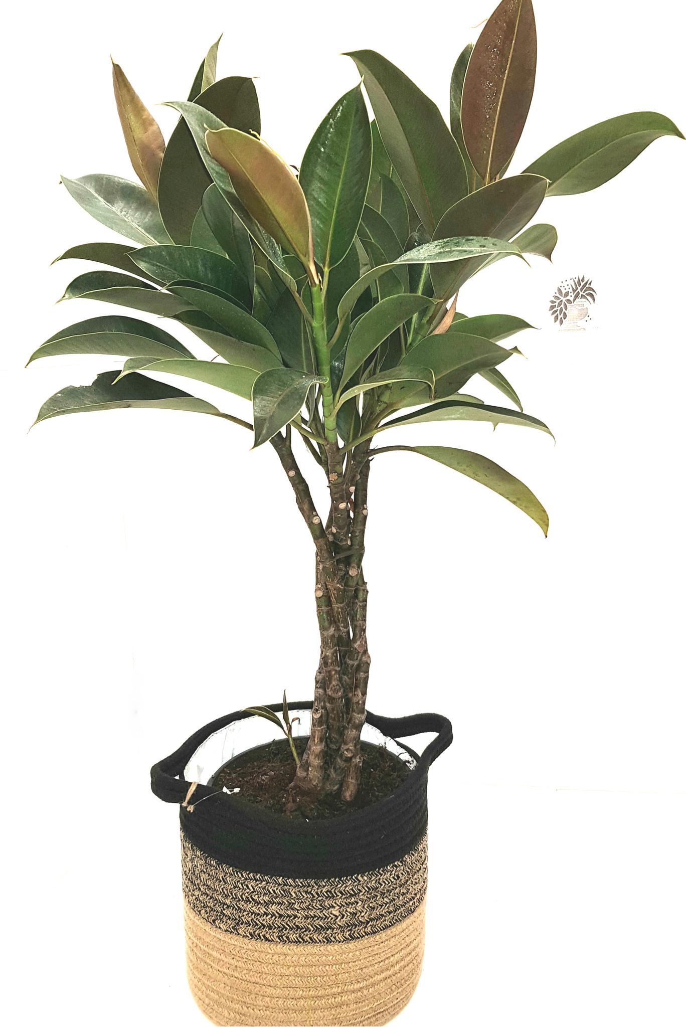 Braided stem indoor house ficus elastica rubber plant .