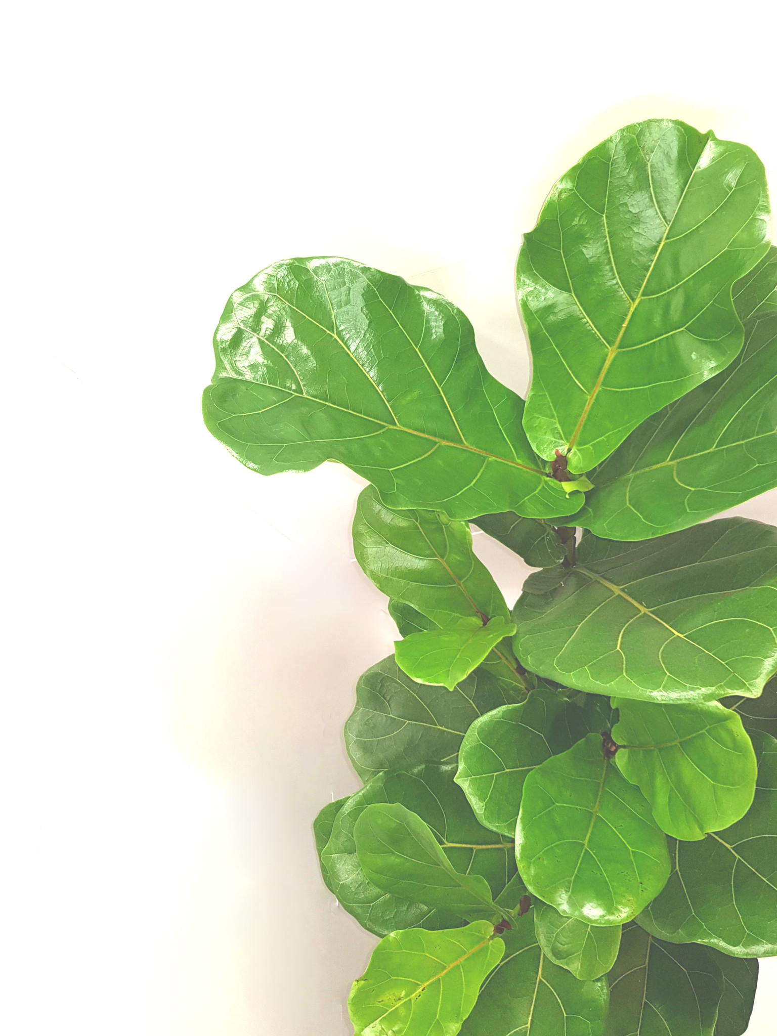 The leaves of the ficus lyrata