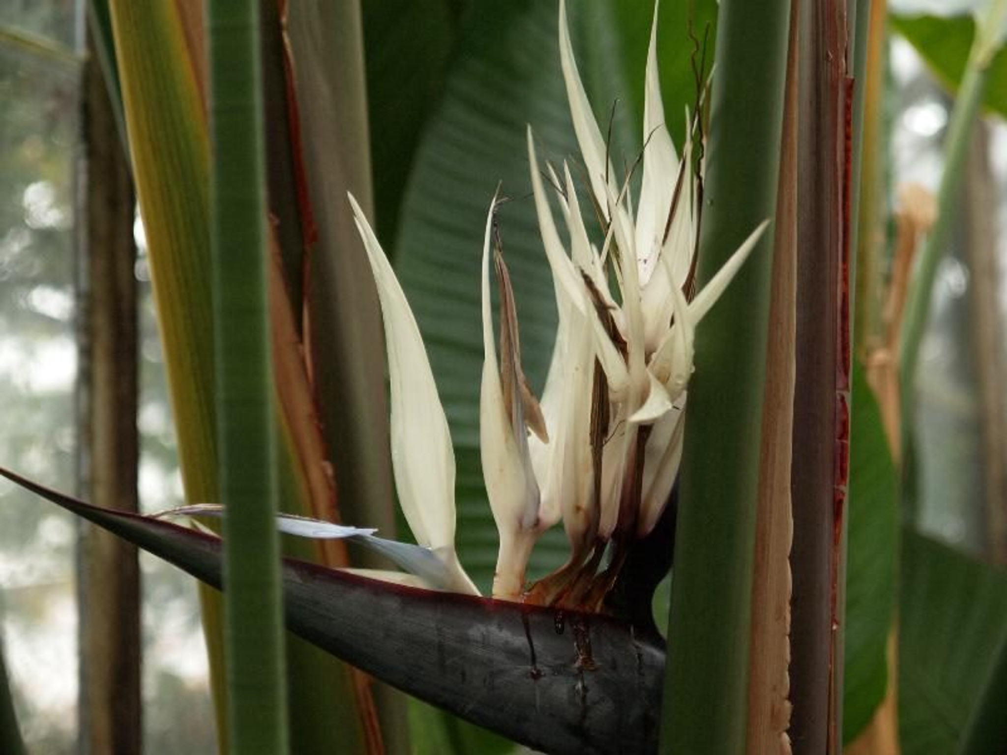 White Bird of Paradise flower