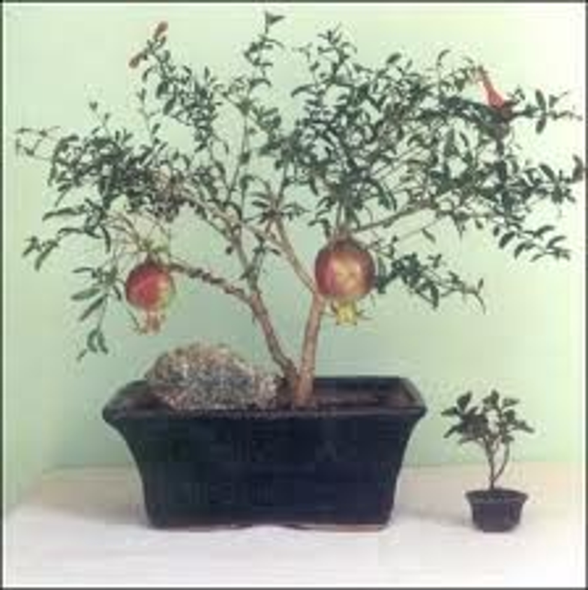 dwarf pomegranate flowering shrub