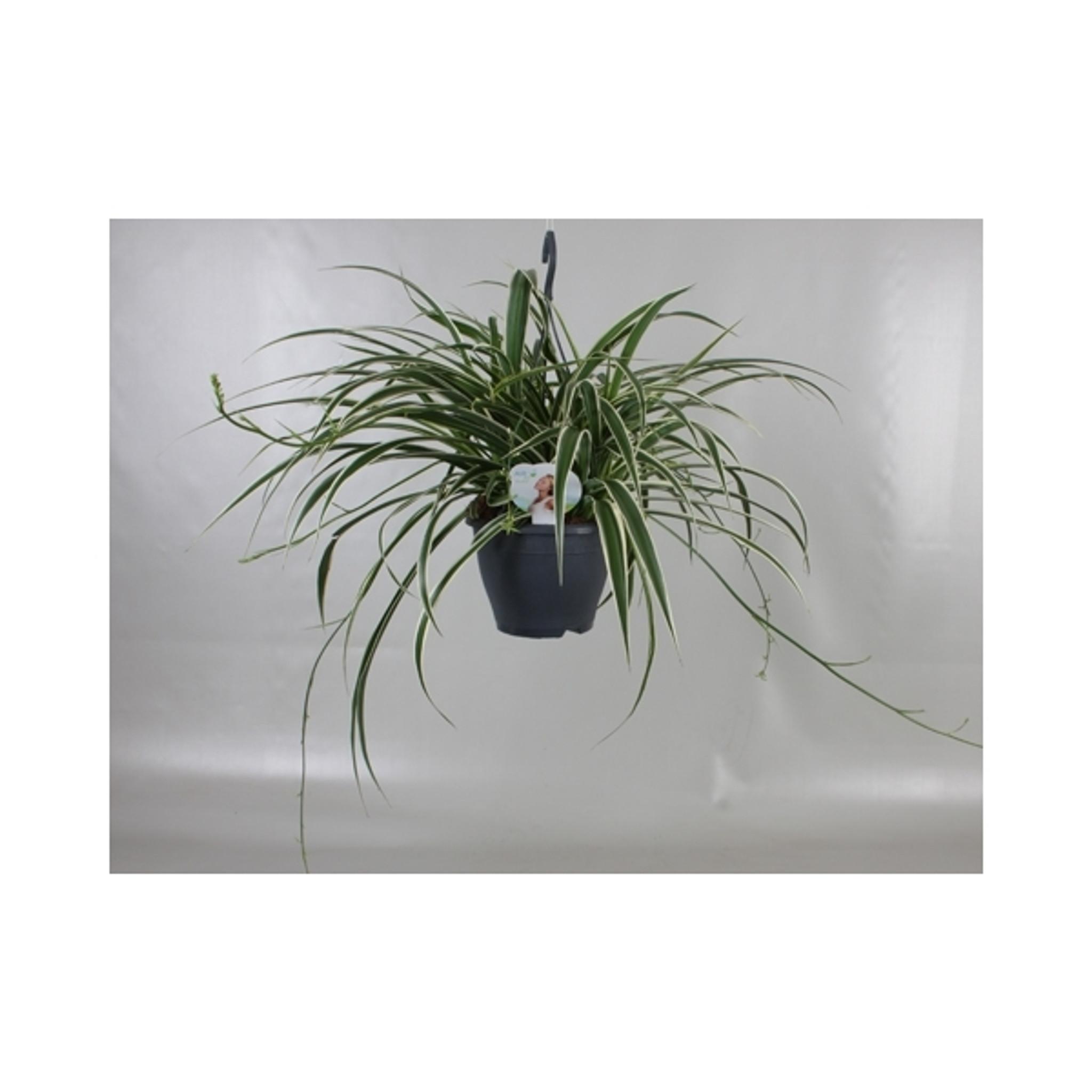 Large Variegated Spider plant Chlorophytum comosum hanging basket