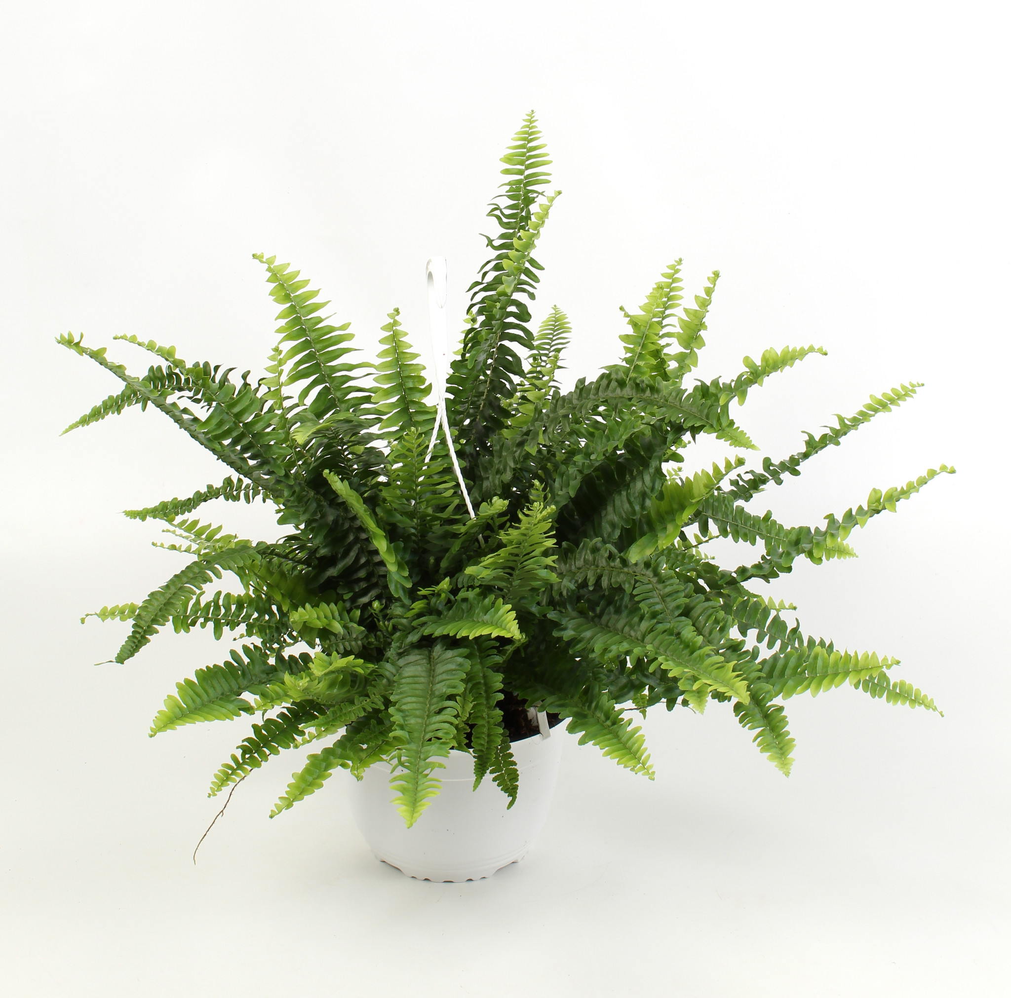 Boston Fern Nephrolepis in a hanging pot - 50-60m wide pot size 18cm