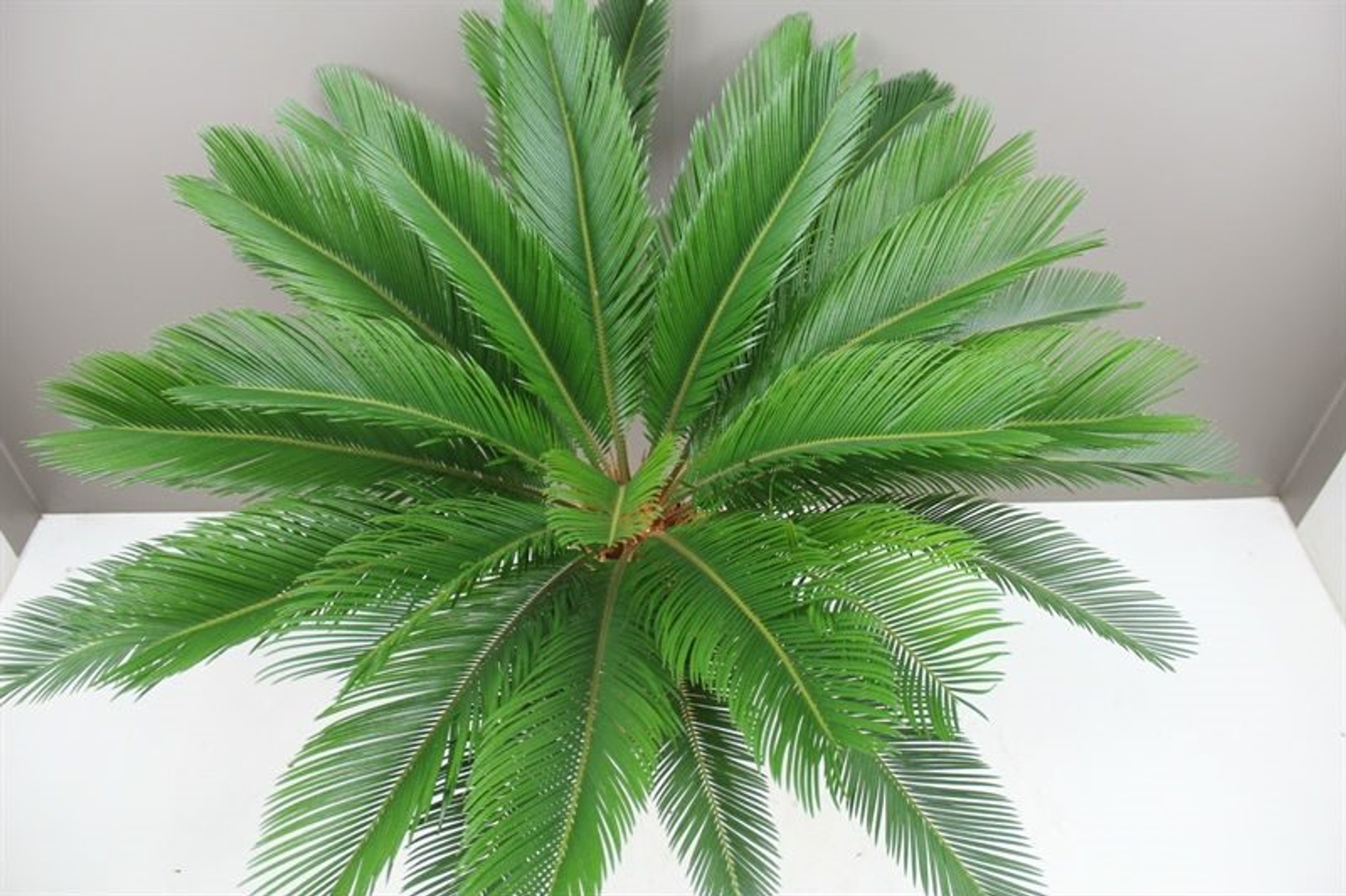 Japanese Sago Palm leaves