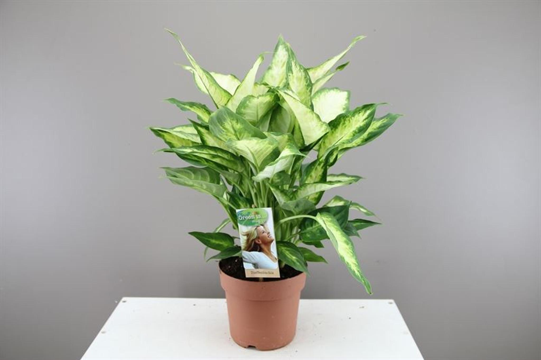 Dieffenbachia Camilla
